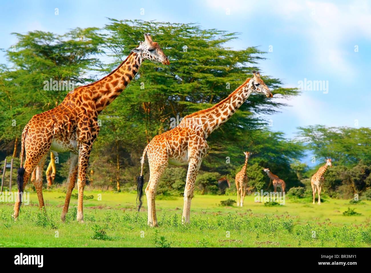 Family of wild giraffes on the lake Naivasha. Africa. Kenya - Stock Image