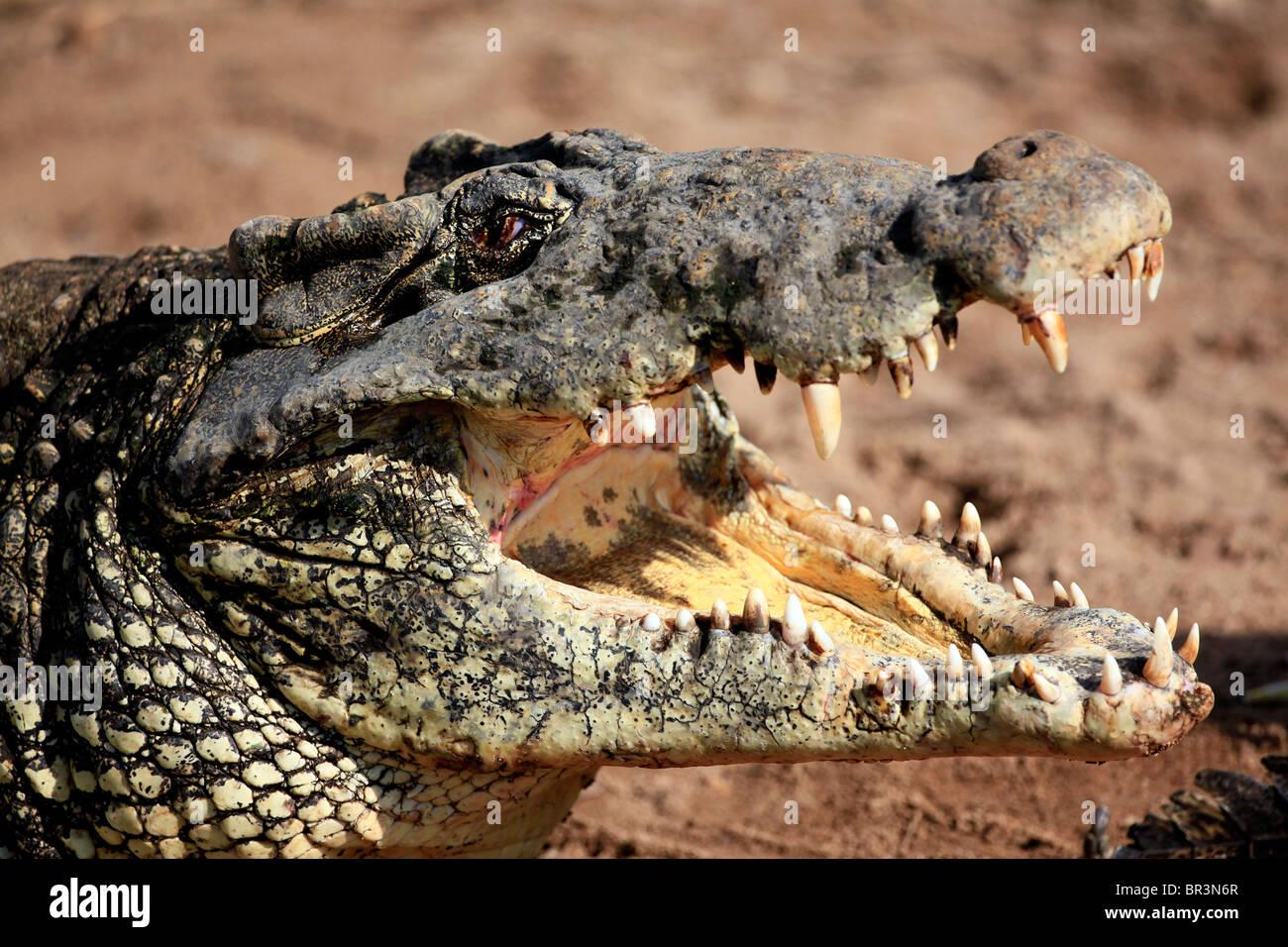 Cuban Crocodile - Stock Image