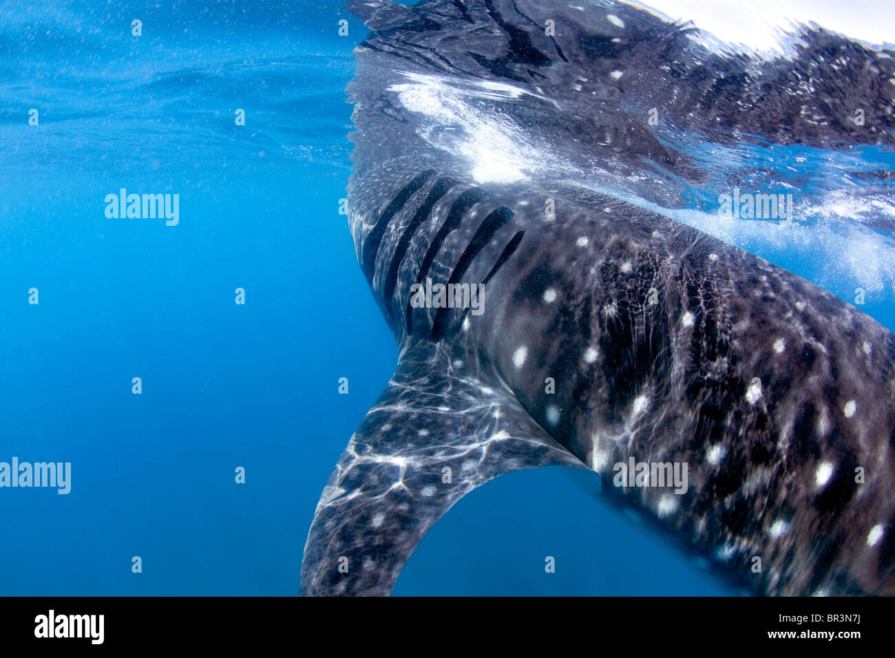 A Whale shark skims the surface in search of a planktonic feast. - Stock Image