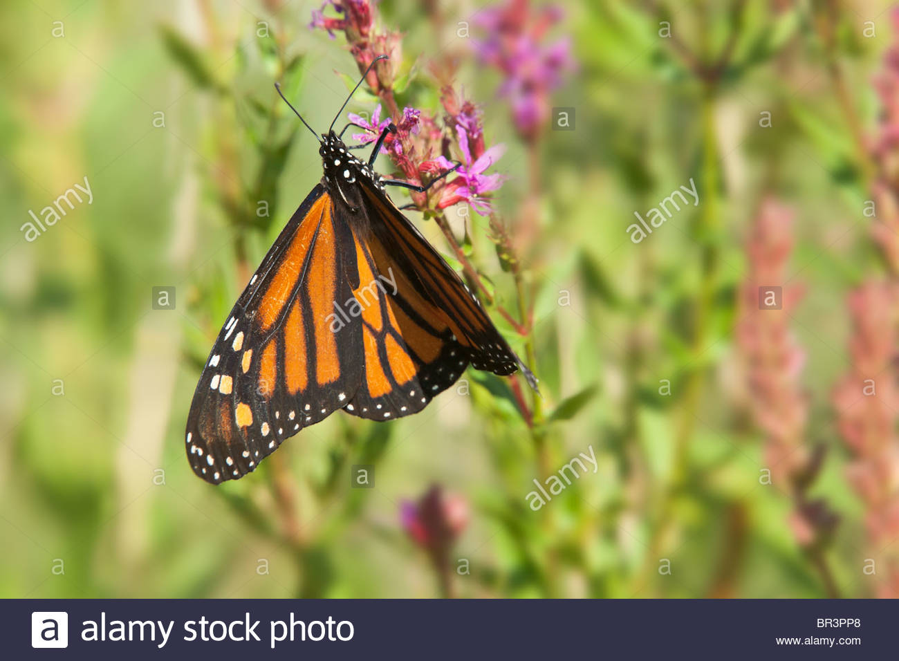 Female Monarch Butterfly in Tommy Thompson Park in Toronto Ontario Canada - Stock Image