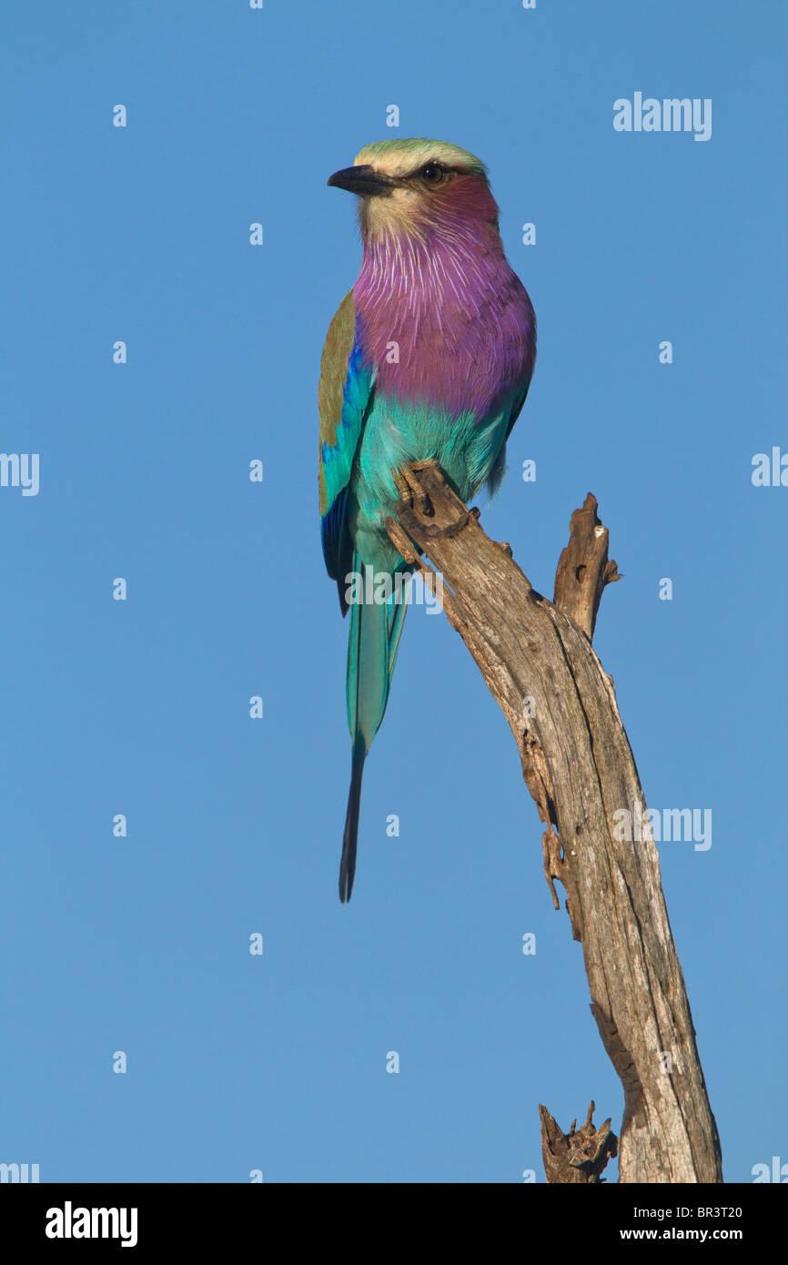 Lilac-breasted Roller, Kruger National Park, South Africa - Stock Image