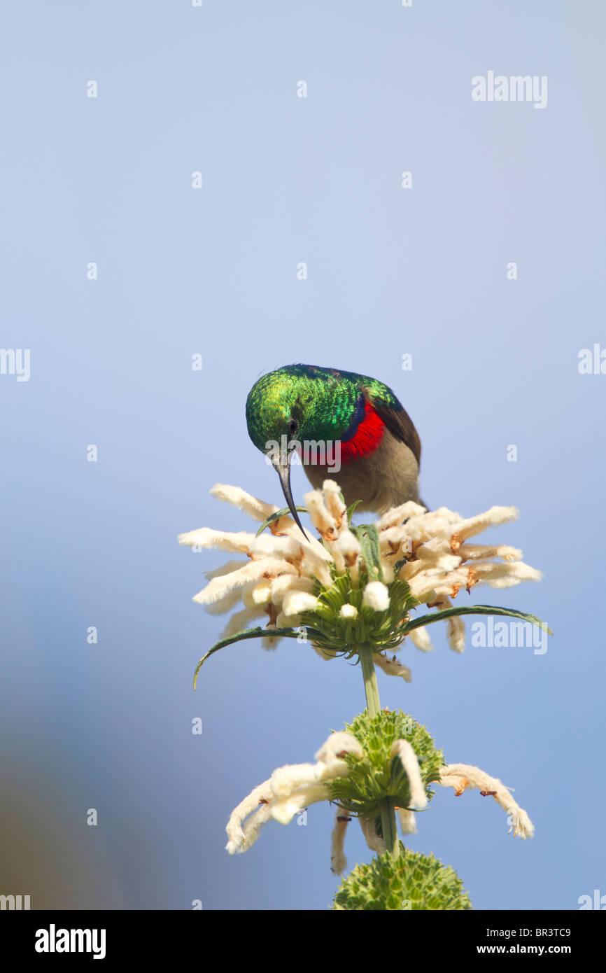 Lesser Double-collared Sunbird Drinking Nectar from Wild Dugga in Kirstenbosch Gardens, Capetown - Stock Image
