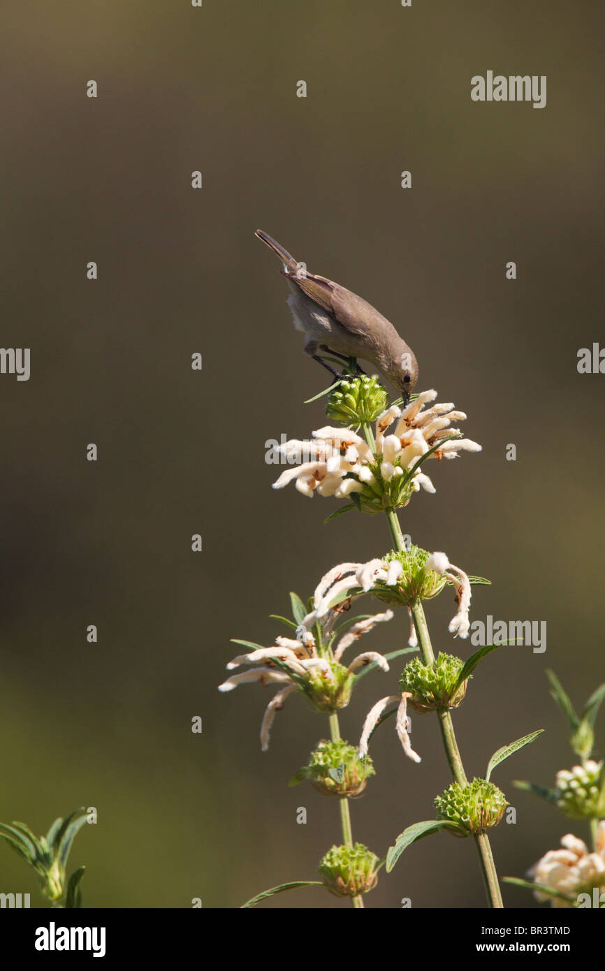 Female Lesser Double-collared Sunbird Sipping Nectdar on Wild Dugga in Kirstenbosch Gardens, Capetown - Stock Image