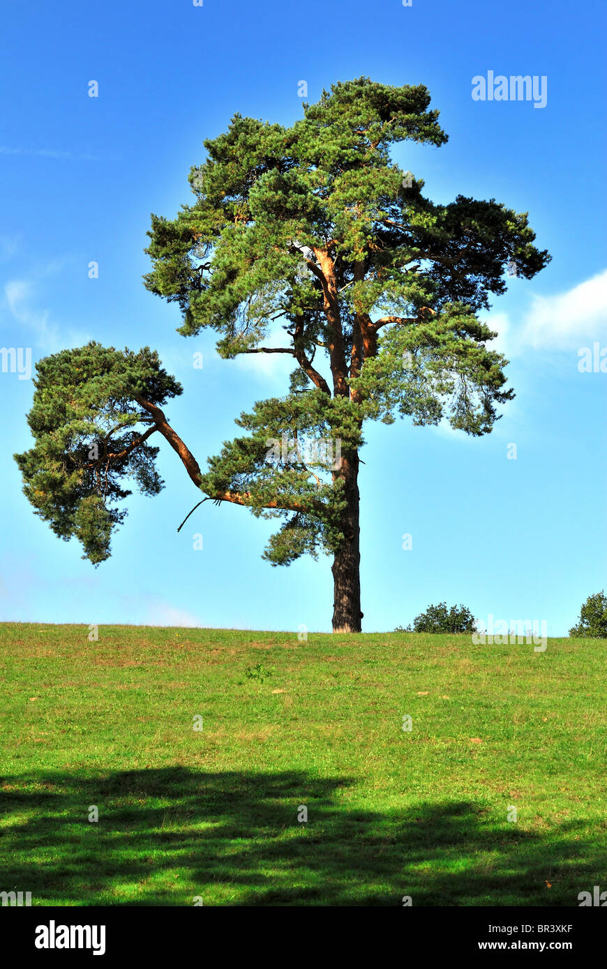 Pine tree on hillside ,Surrey Hills England UK Stock Photo