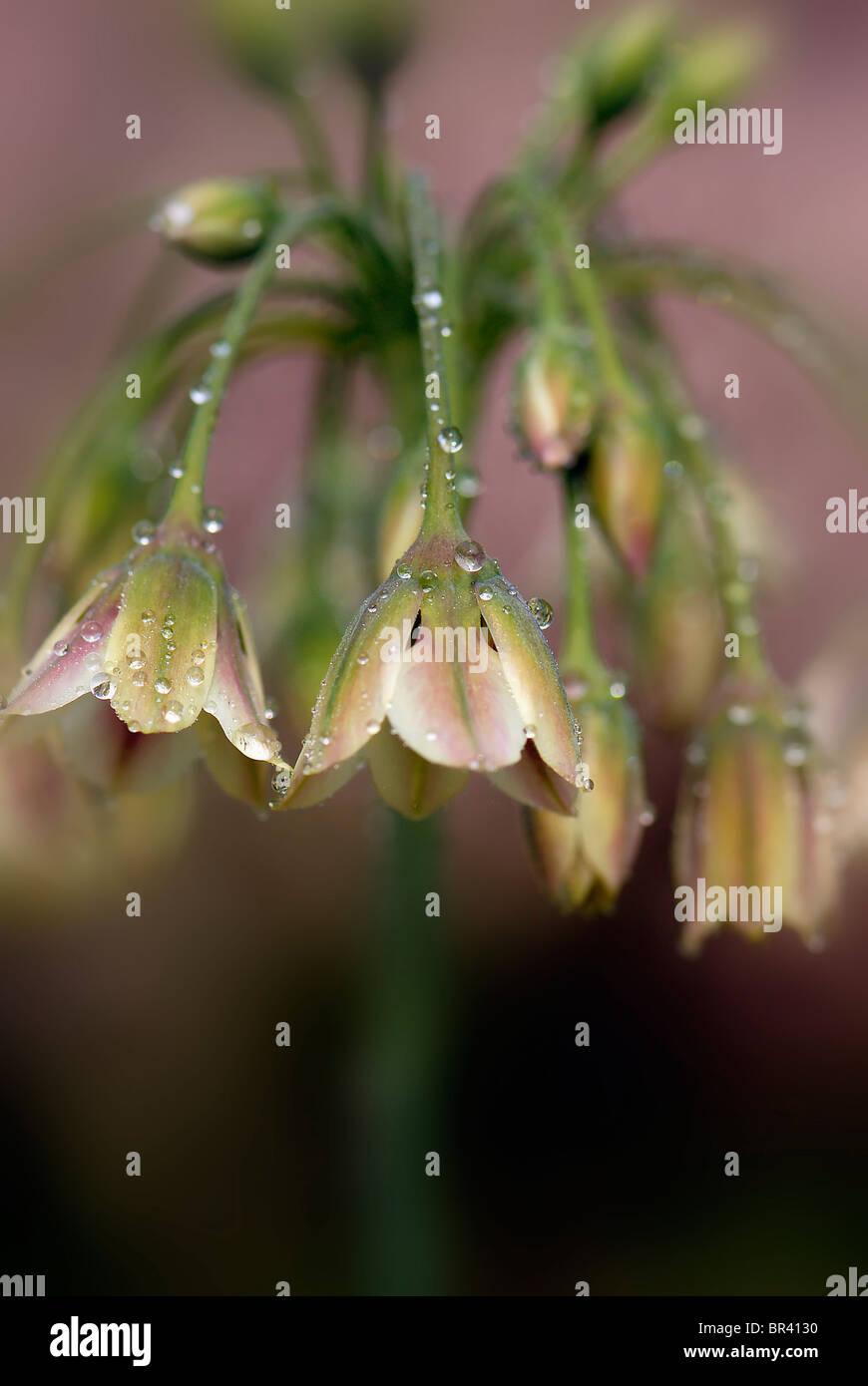 Sicilian Honey Garlic Flower - Nectaroscordum siculum - Stock Image