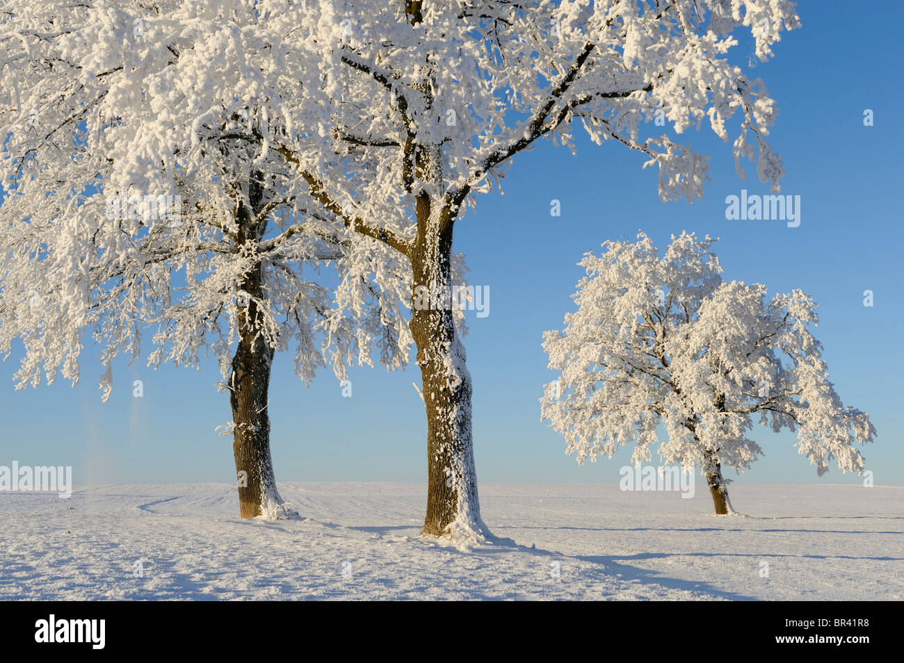 Pedunculate Oak (Quercus robur), coated with white frost, Lindeberg, Aargau, Switzerland, Europe - Stock Image