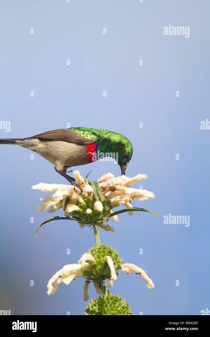 Lesser Double-collared Sunbird Sipping Nectar on Wild Dugga in Kirstenbosch Gardens, Capetown - Stock Image