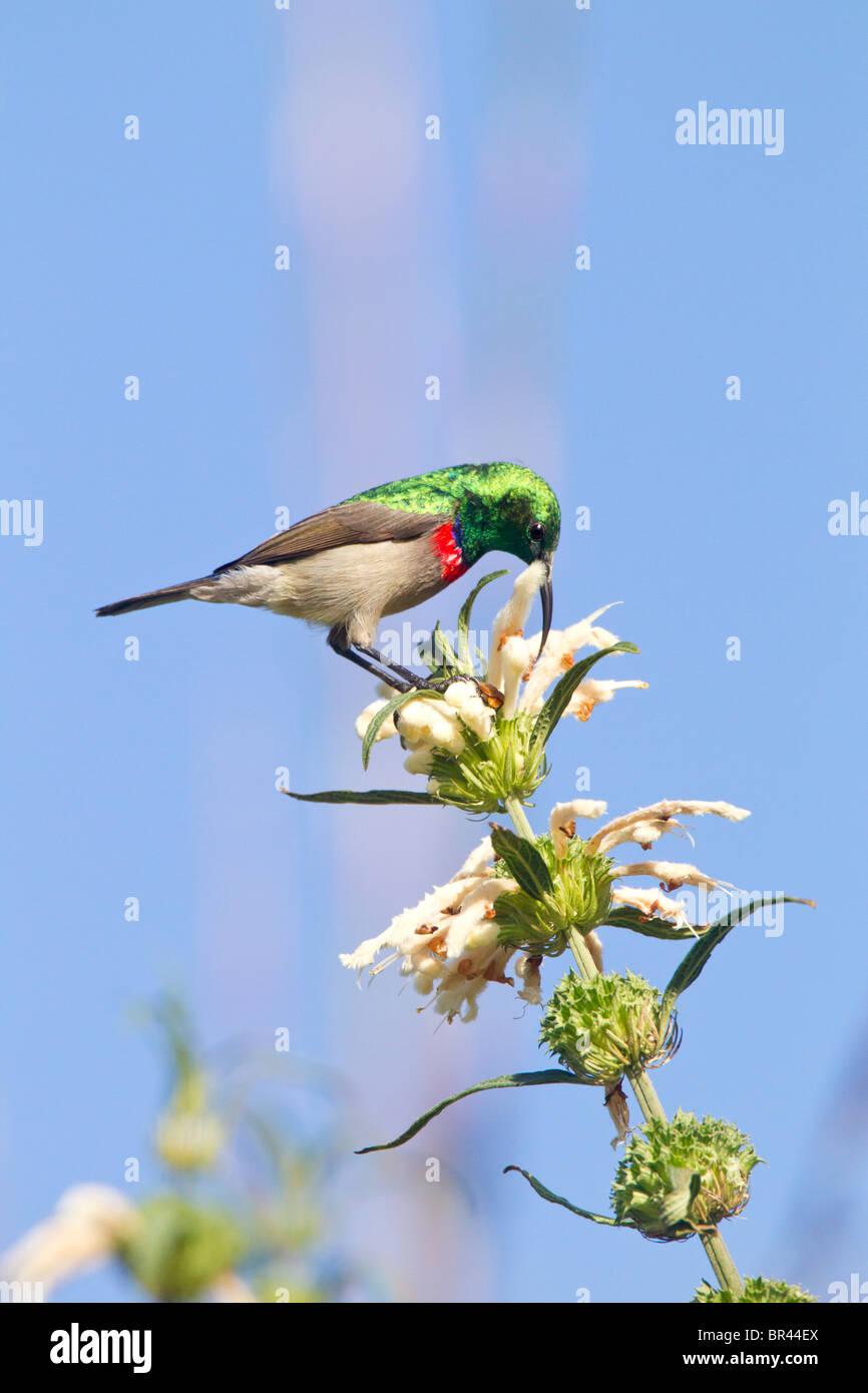 Lesser Double-collared Sunbird Drinking Nectar on Wild Dugga in Kirstenbosch Gardens, Capetown - Stock Image