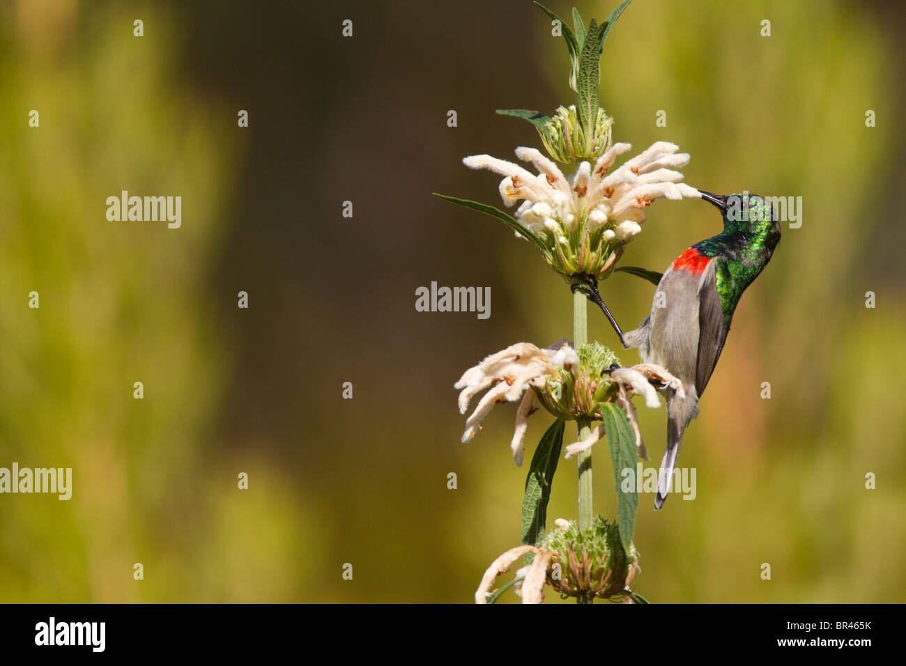 Lesser Double-collared Sunbird  Sipping Nectar on Wild Dugga in Kirstenbosch Gardens, Capetown, - Stock Image