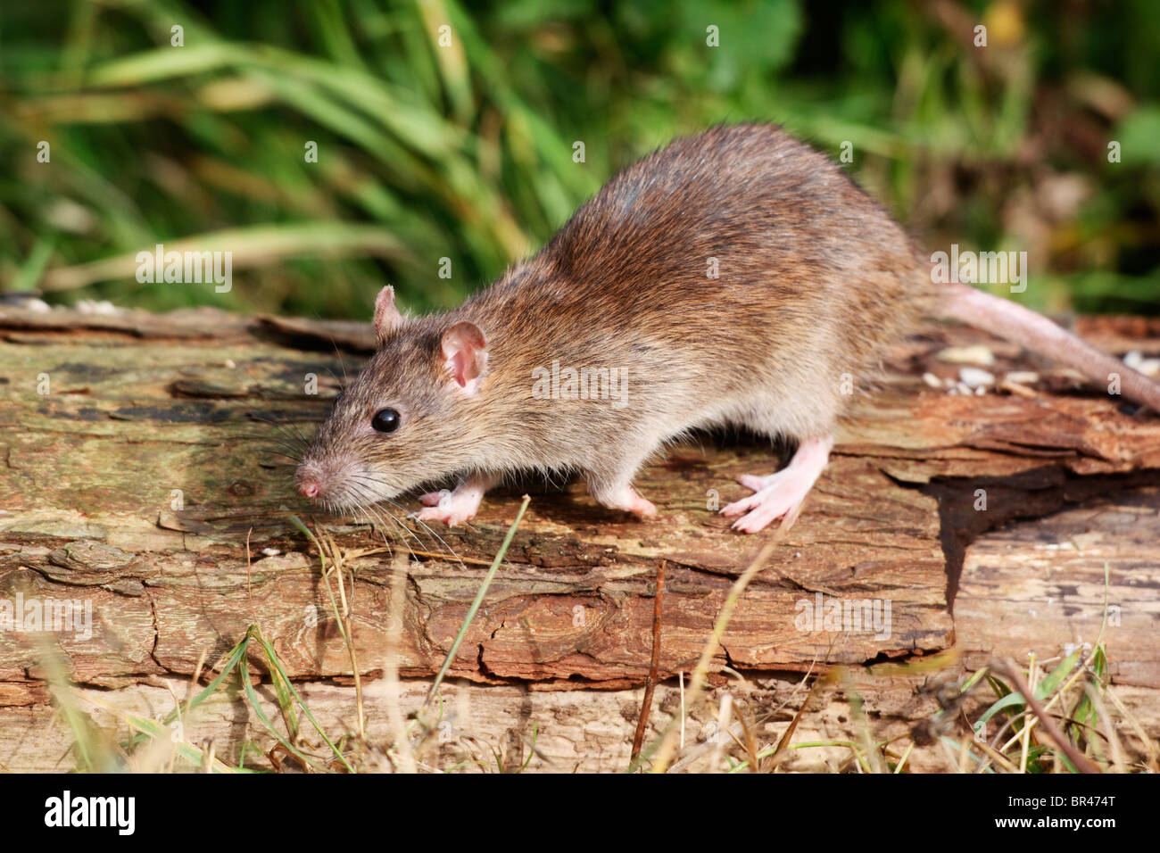 Brown rat, Rattus norvegicus, single animal on log, Midlands, September 2010 - Stock Image
