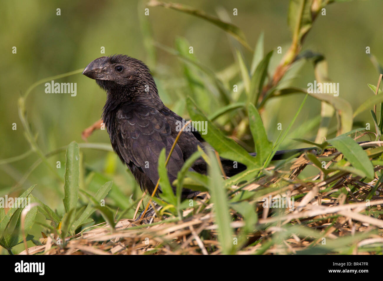 Smooth billed Ani bird sitting in green grass in the Brazil Pantanal - Stock Image