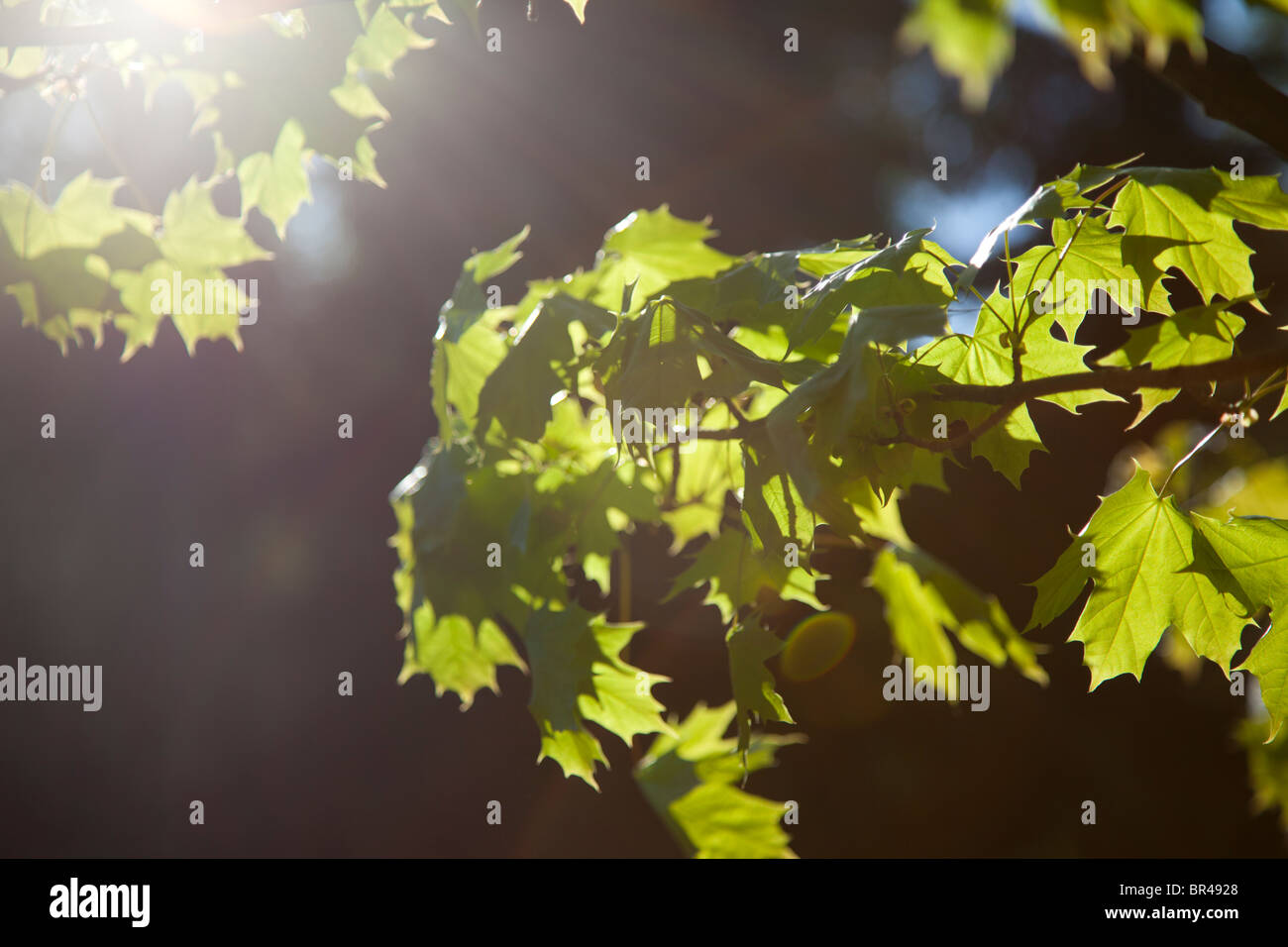 Green maple leafs against sun - Stock Image
