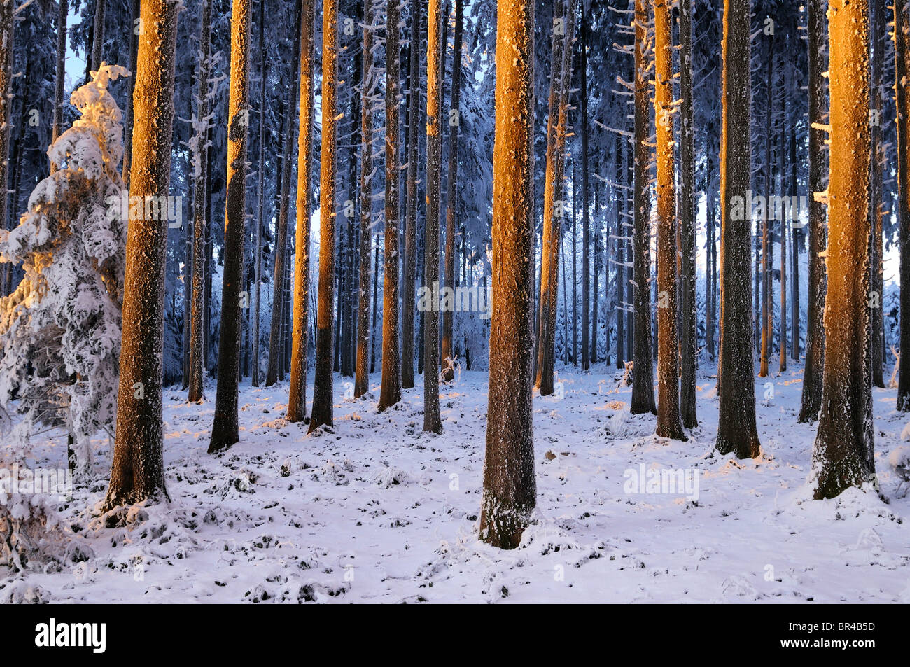 Spruce forest in the light of the setting sun - Stock Image