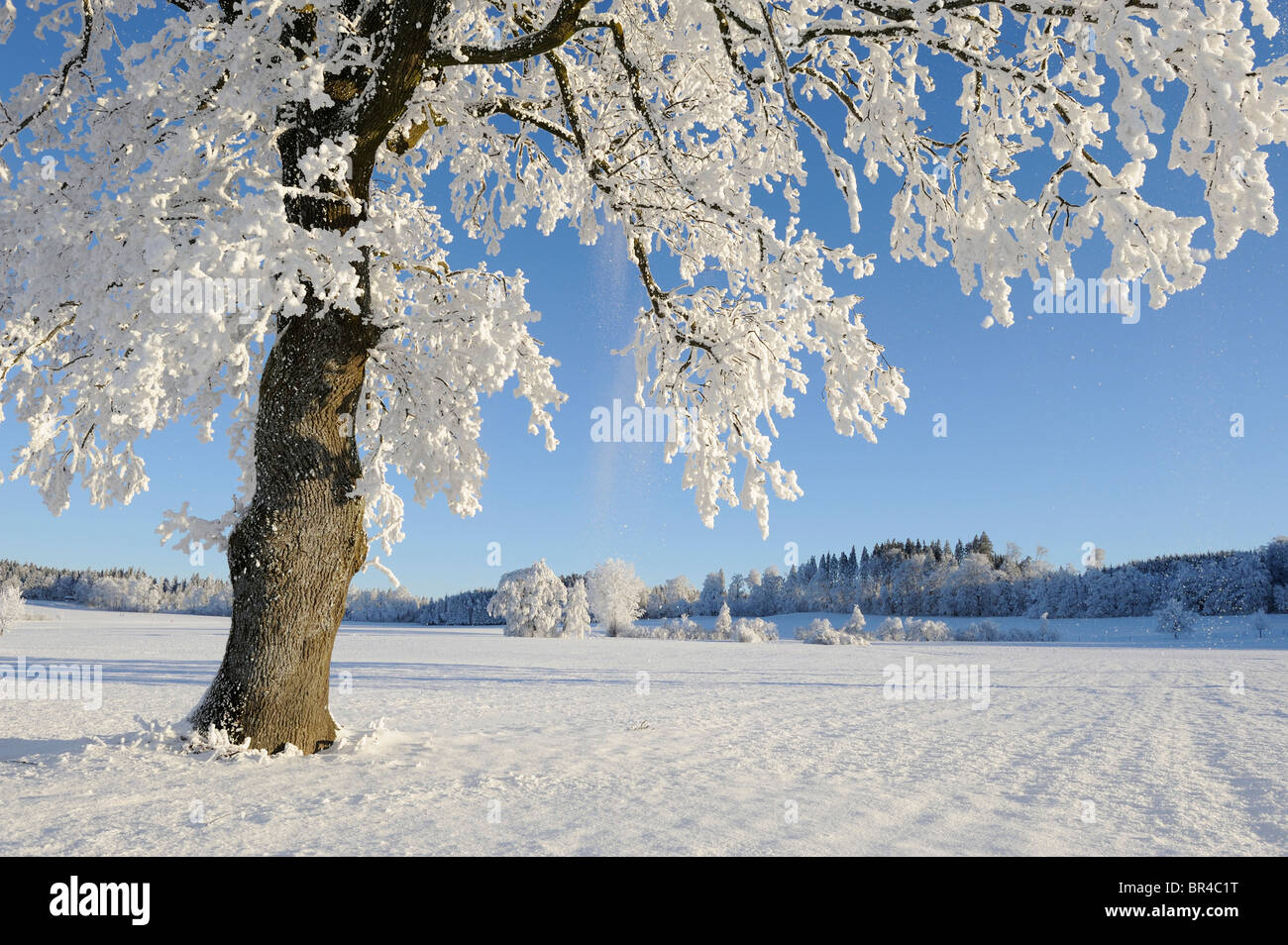 Pedunculate Oak (Quercus robur), coated with white frost, Lindeberg, Aargau, Switzerland, Europe - Stock Image