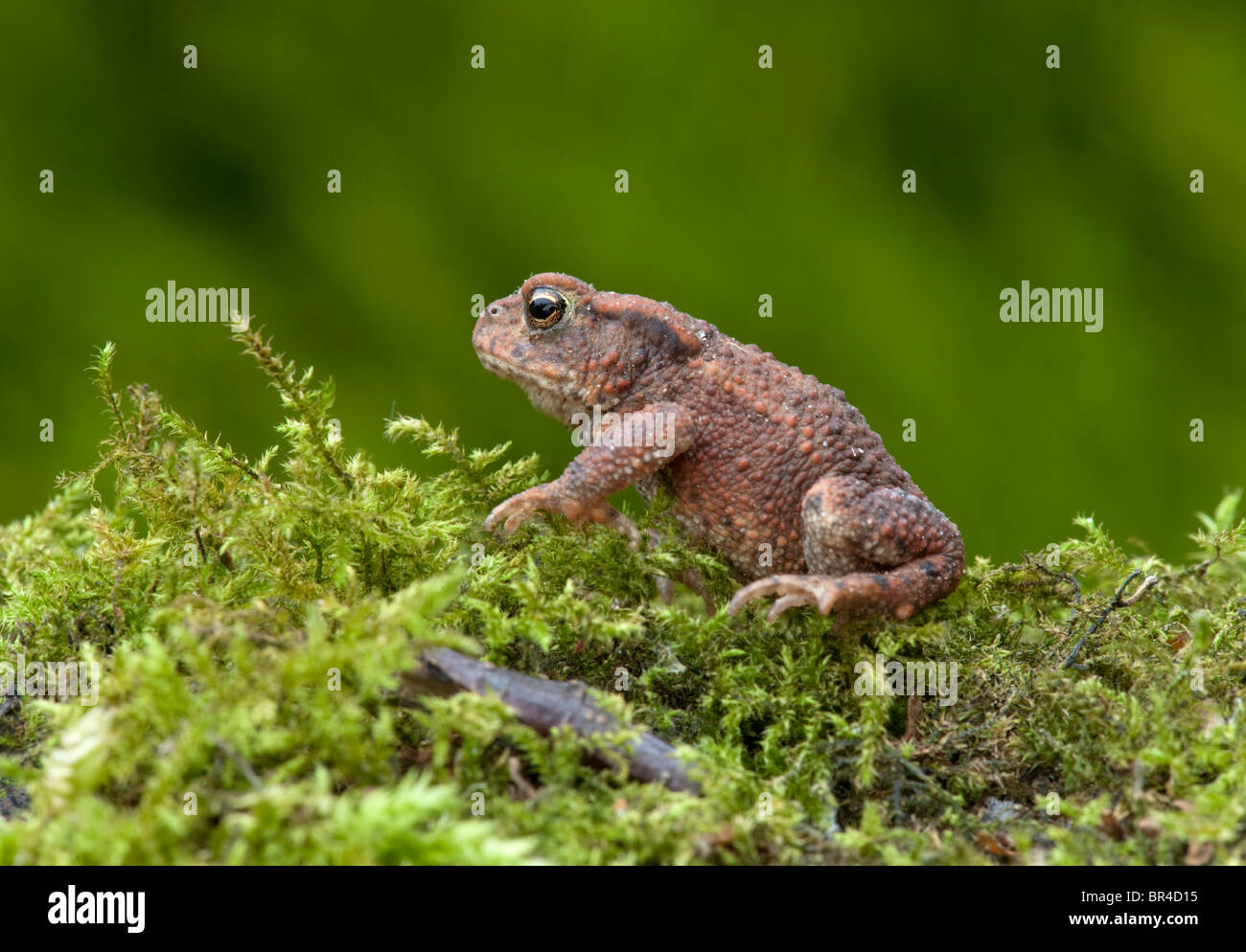 Toad (Bufo bufo) sat on a bed of moss. - Stock Image