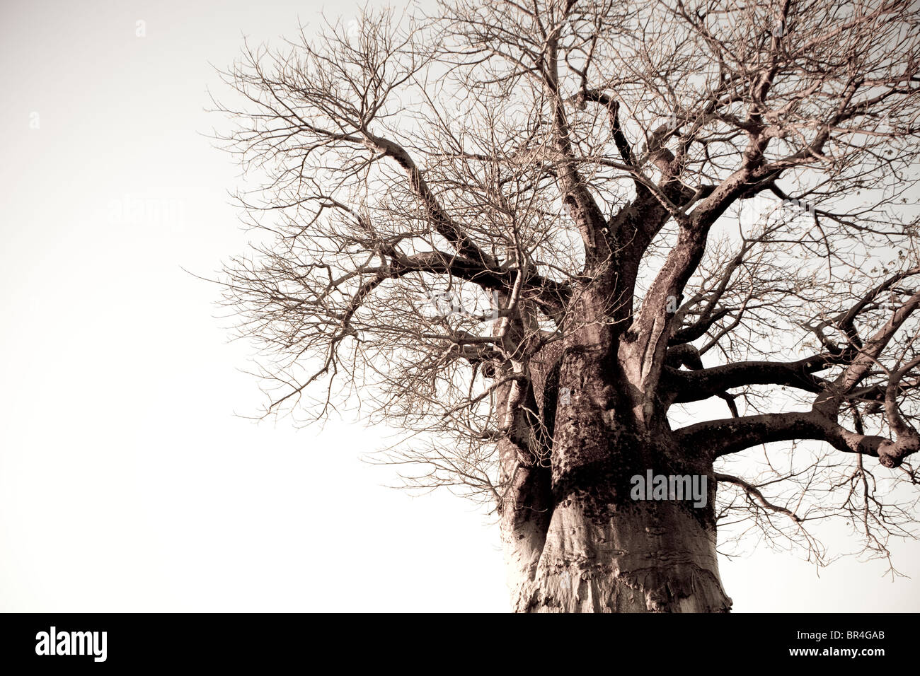 Boabab Tree in Savuti, Chobe National Park, Botswana - Stock Image