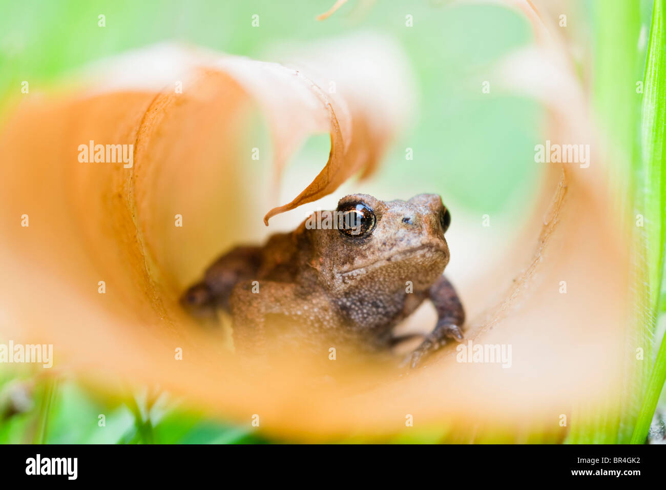 Young Toad in curled up leaf Stock Photo
