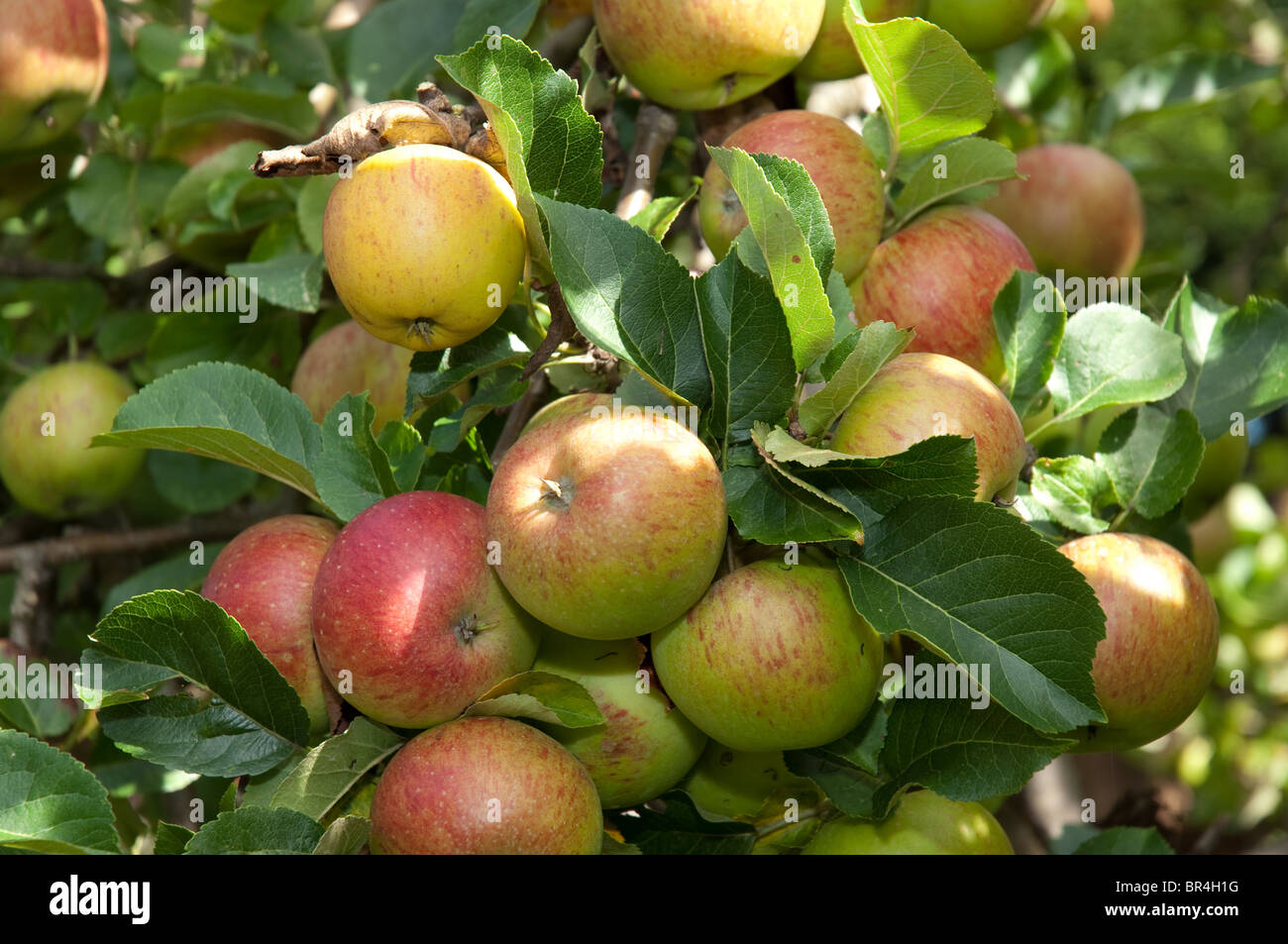 Apples on tree in a garden in England. - Stock Image