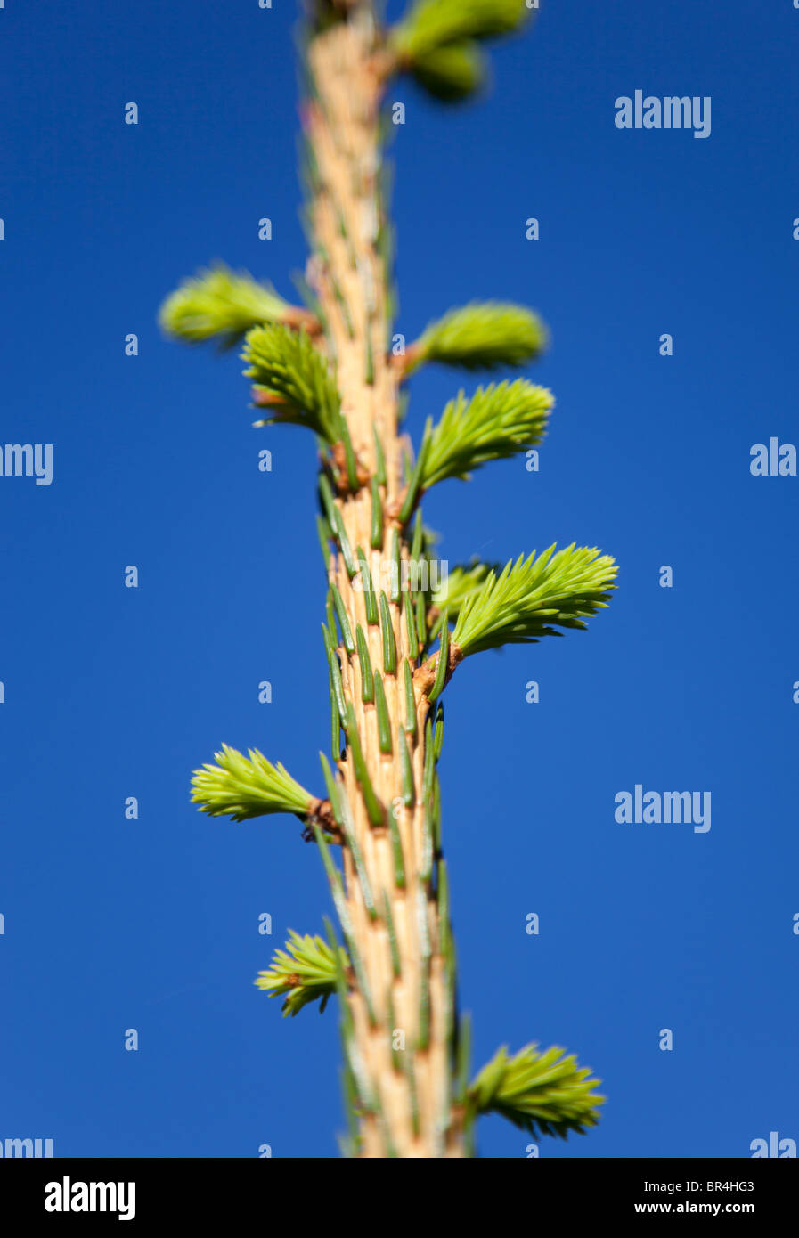 The annual growth and new branches budding on spruce tree ( picea abies ) - Stock Image