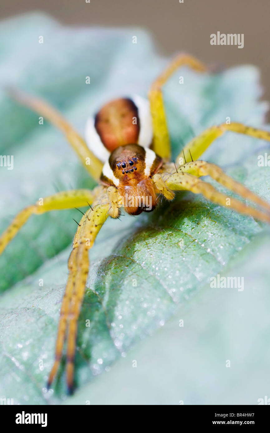 Raft Spider sat waiting on a leaf - Stock Image
