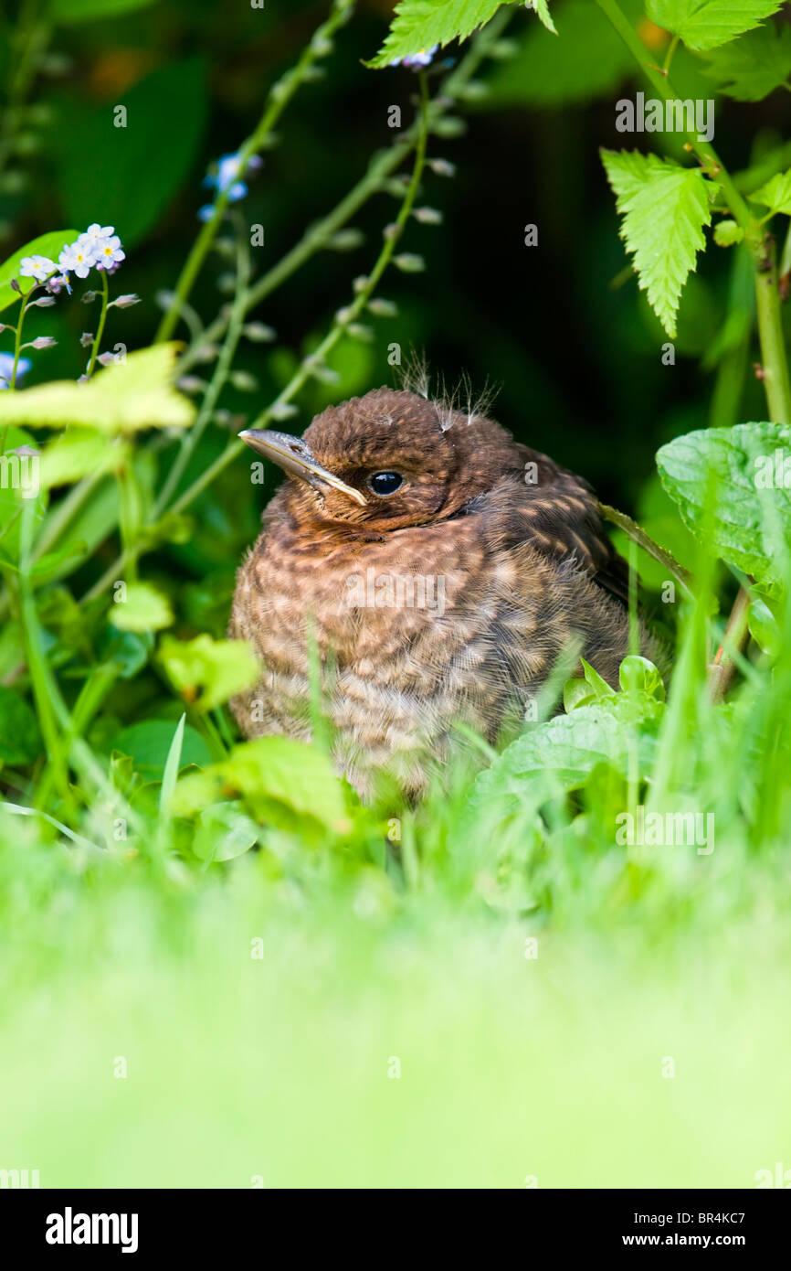 Fledgling Blackbird hiding in undergrowth - Stock Image
