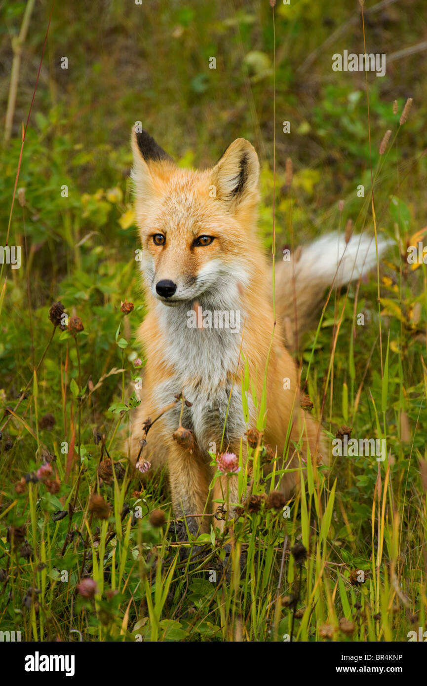 A red fox sitting in a wild grassy meadow - Stock Image