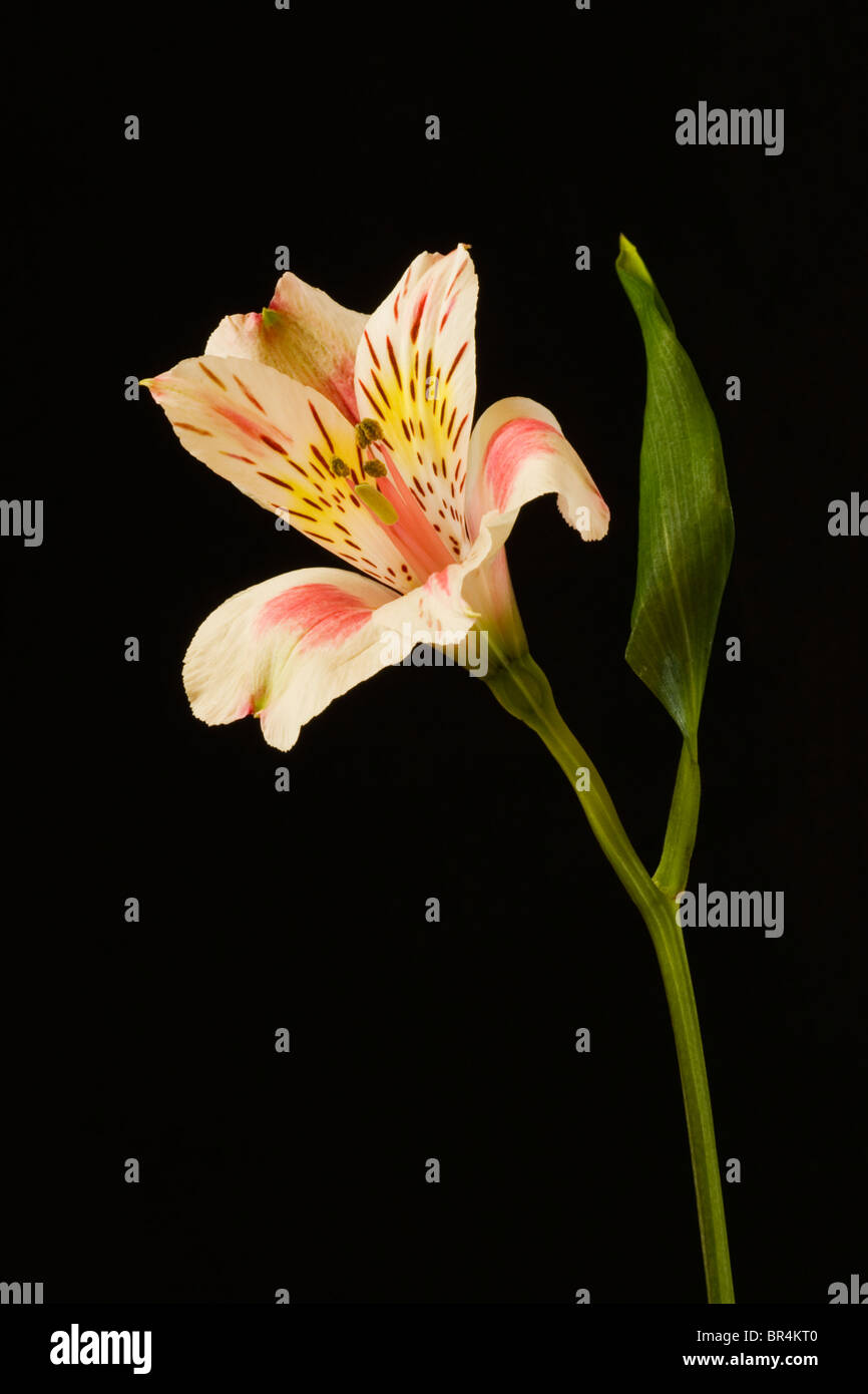 Pink Alstroemeria Princess Lily Flower on black background Stock Photo