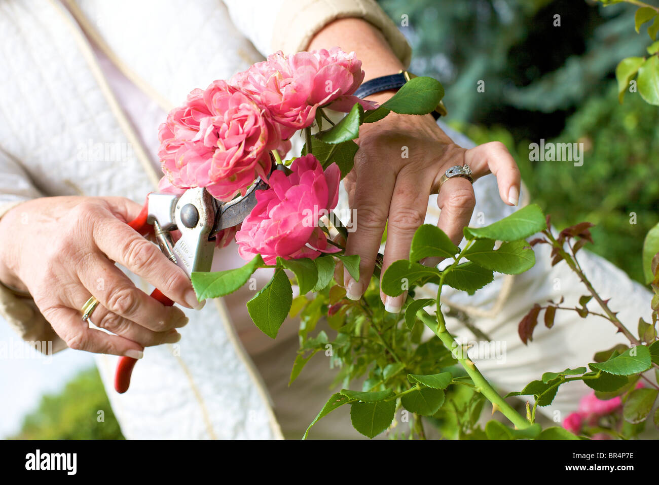 Woman Trimming Roses In Garden Close Up Stock Photo 31452722 Alamy