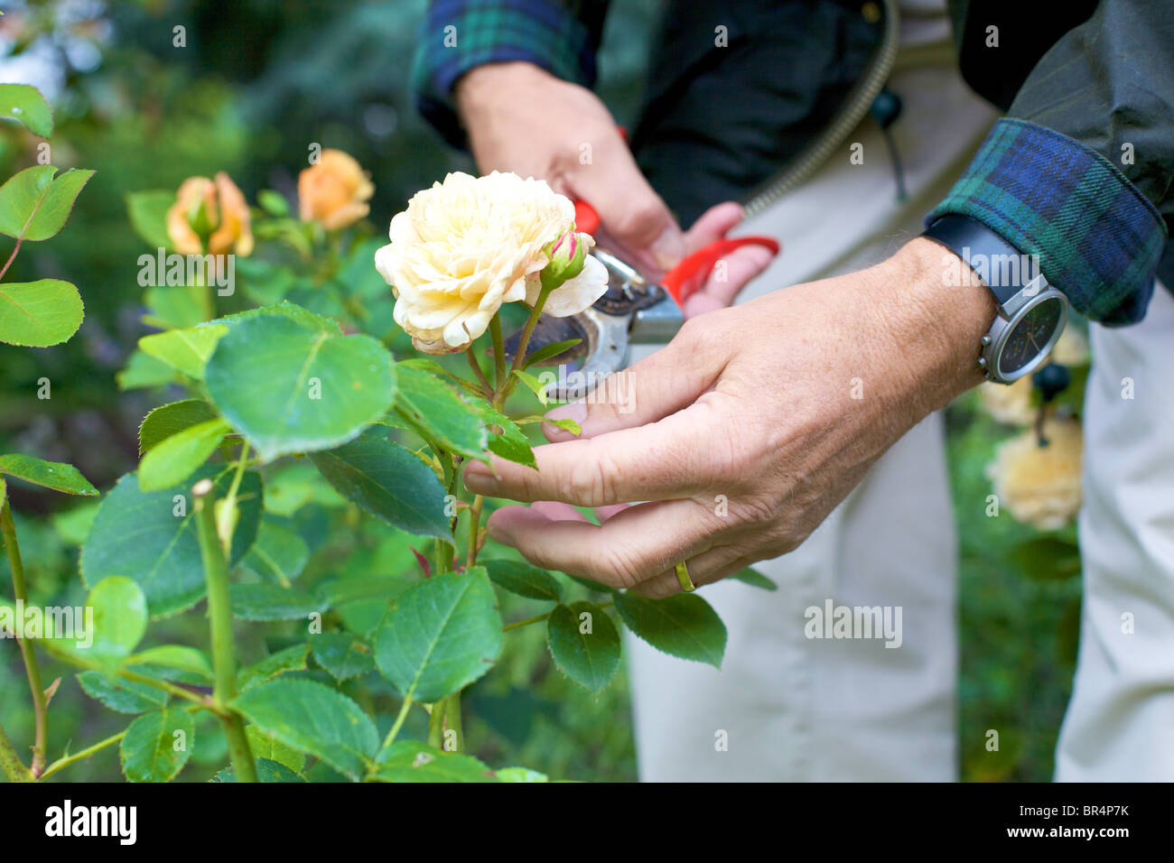 Man Trimming Roses In Garden Close Up Stock Photo 31452727 Alamy