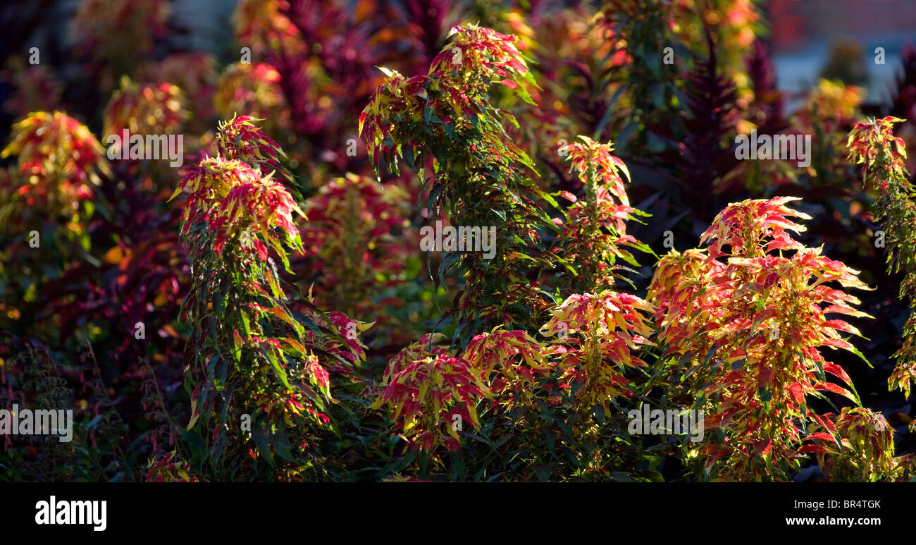 A bank of vivid colored Joseph's Coat Amaranths (Amaranthus tricolor) in a garden. Massif d'amaranthes tricolores - Stock Image
