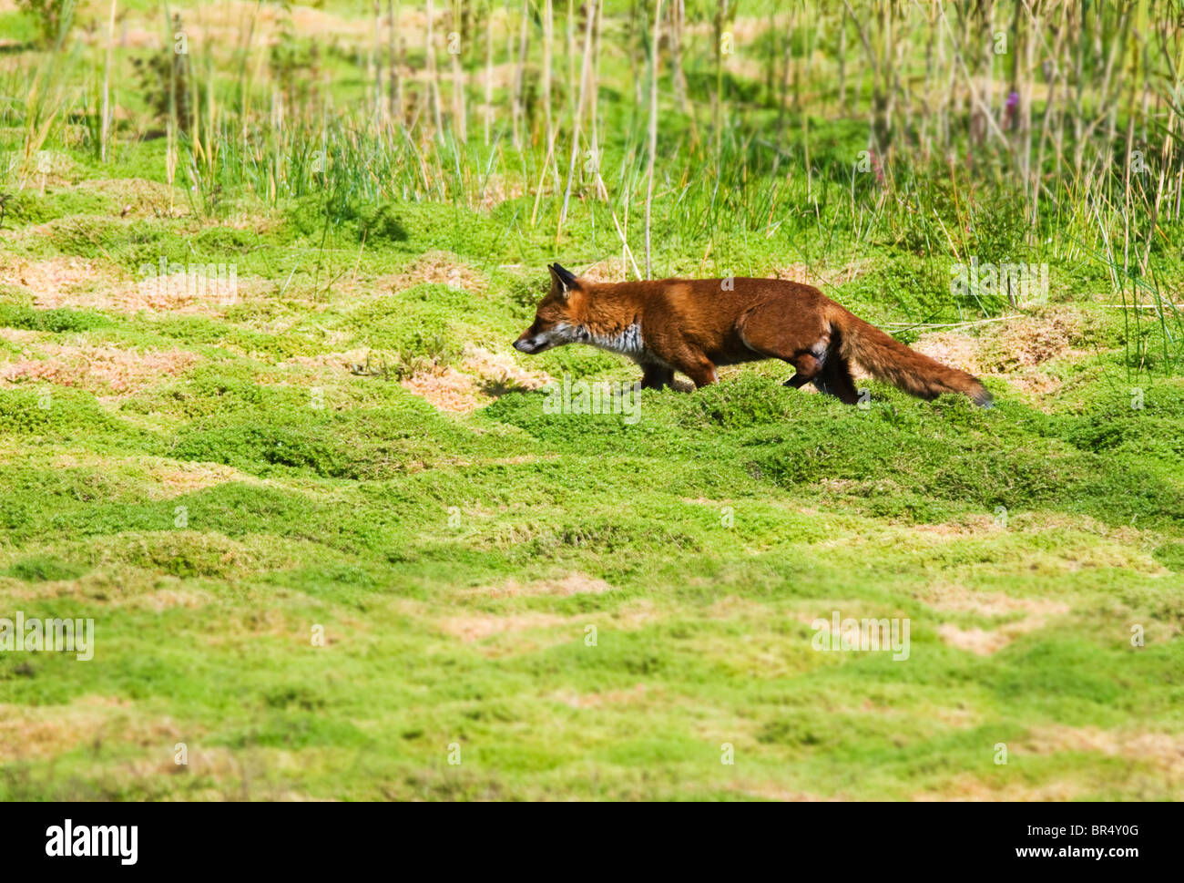 Red Fox (Vulpes Vulpes) on the prowl in Warwickshire countryside - Stock Image
