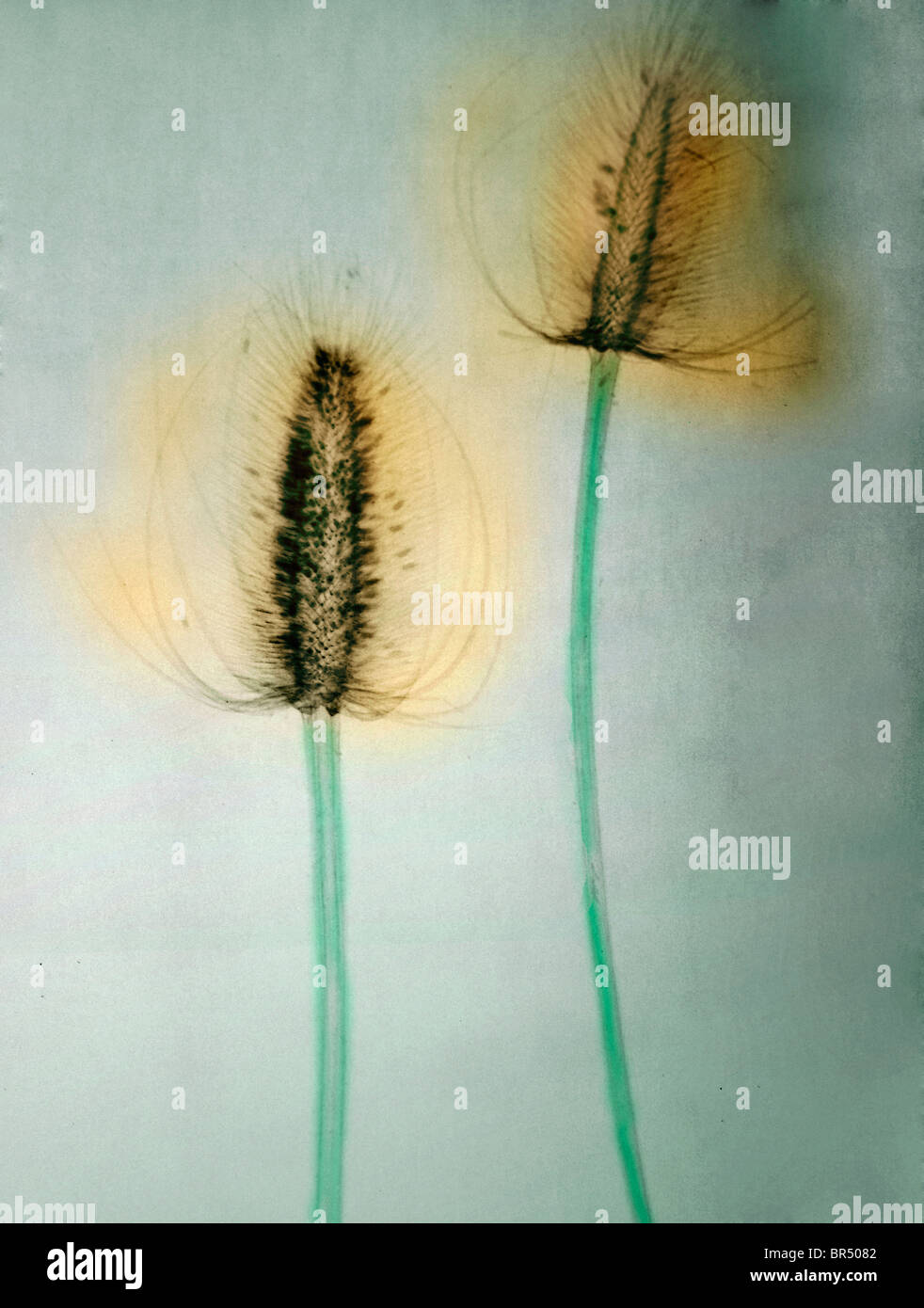 x-ray of teasel flowers, colorized x-ray of a teasel flower - Stock Image