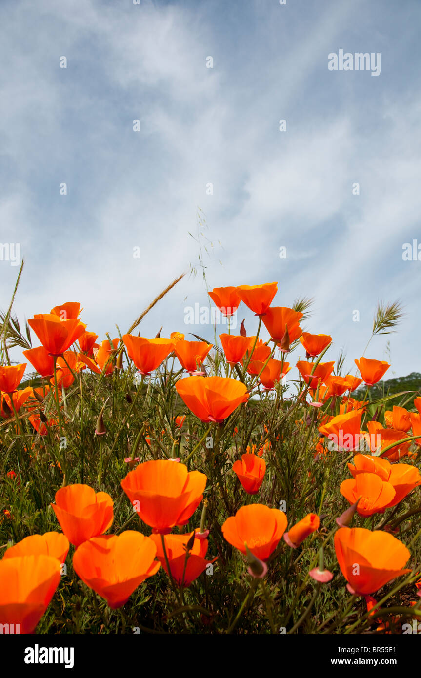 California wildflower travel: Poppies, California state flower, at Mt. Diablo State Park Photo copyright Lee Foster. - Stock Image