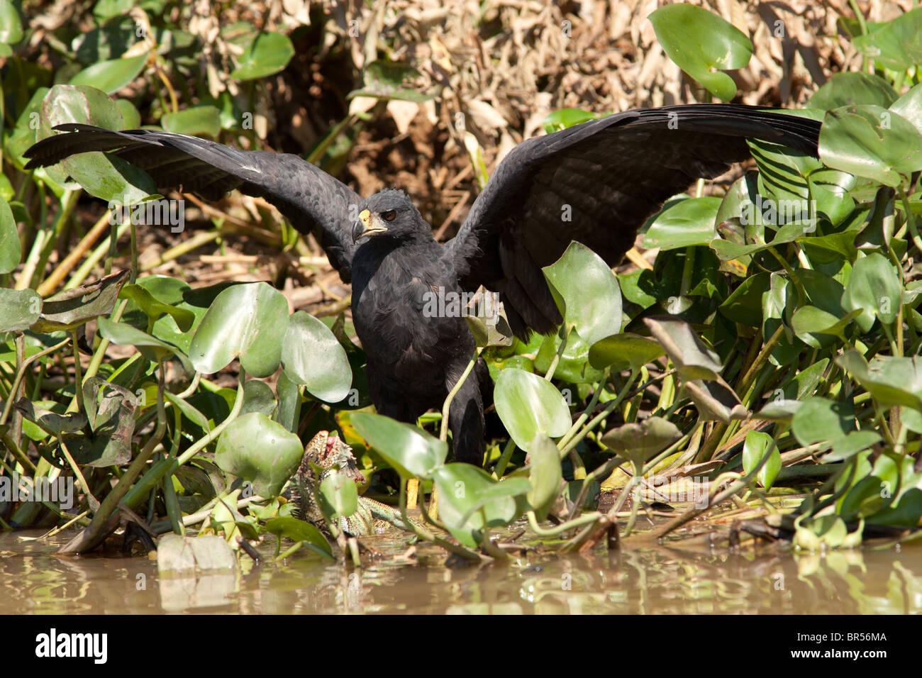 Great Black Hawk with Iguana Victim - Stock Image