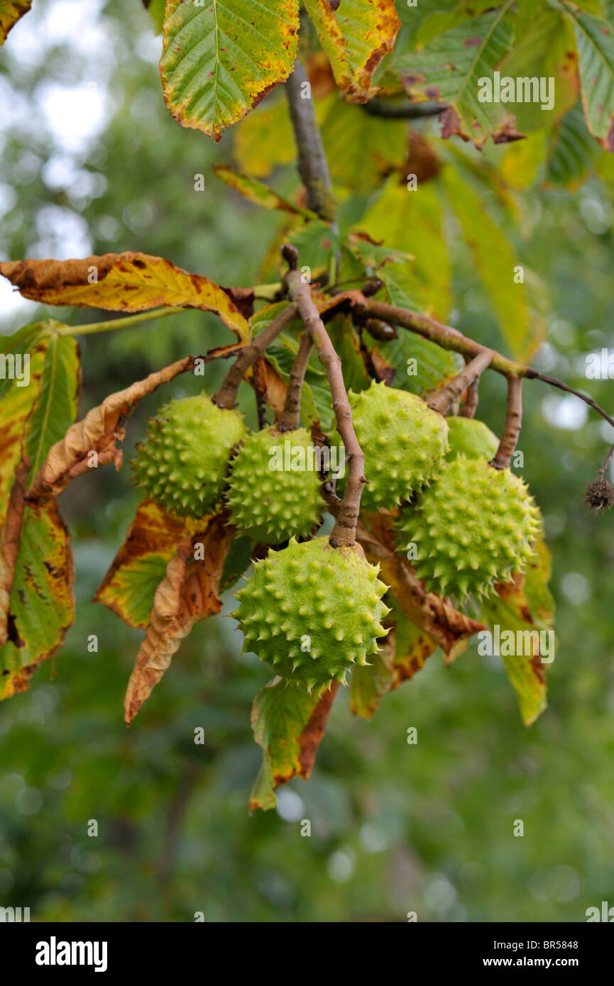 Horse Chestnut conkers, leaves have been attacked by the Macedonian Moth caterpillar - Stock Image