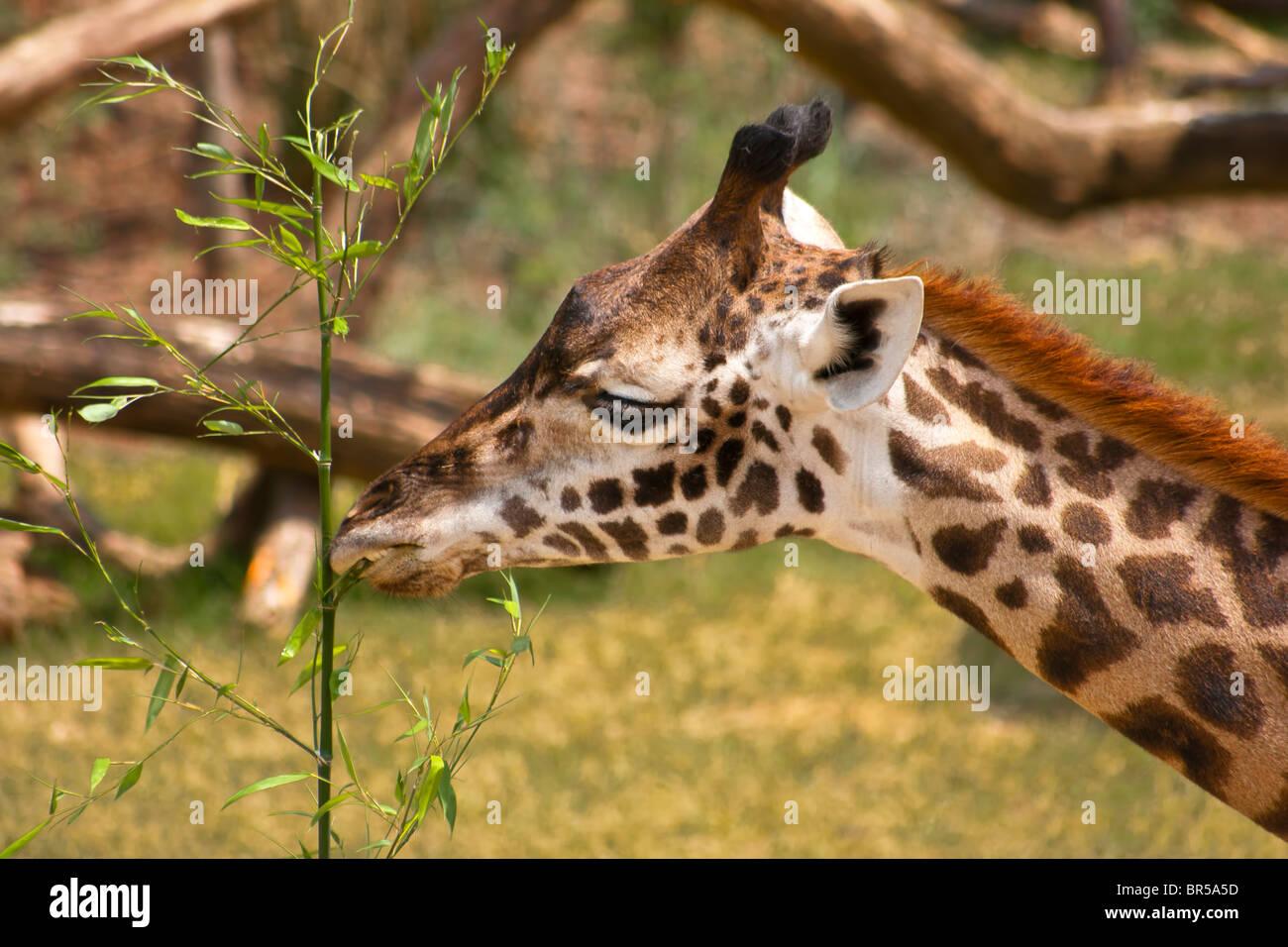 The Giraffe (Giraffa camelopardalis) - Stock Image