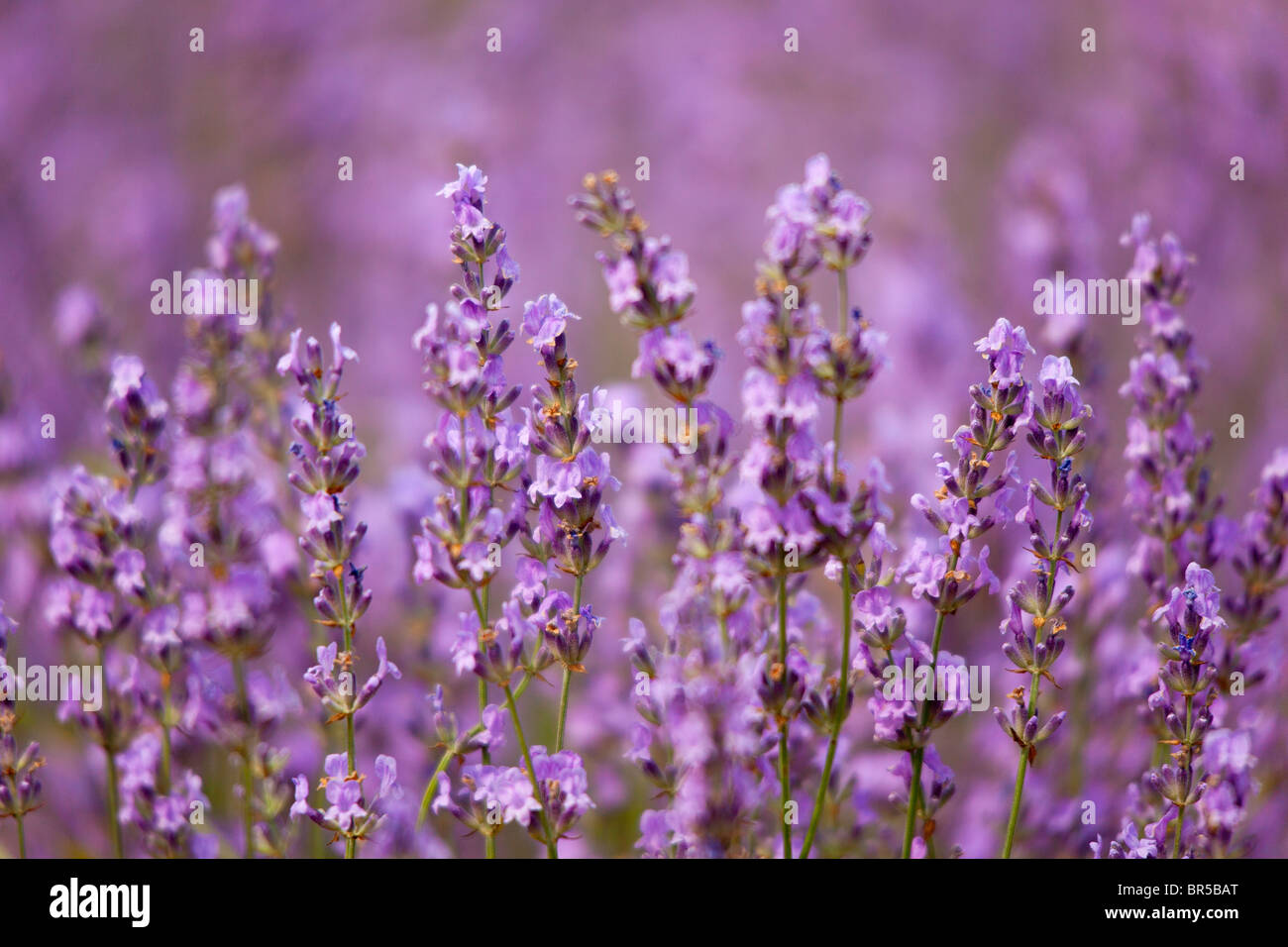 Europe, France, Vaucluse (84), Lavender Field in Provence Stock Photo
