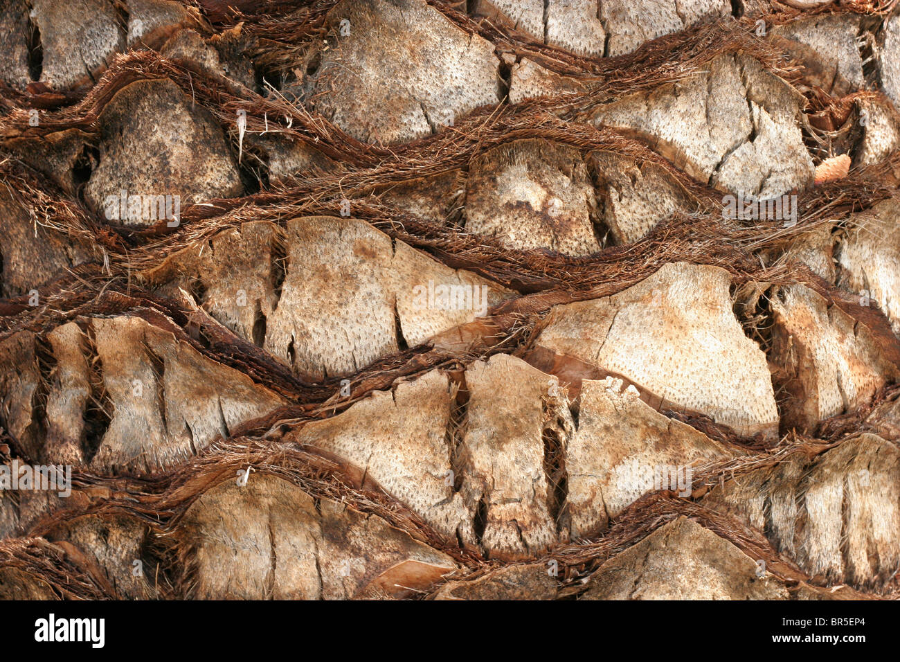 Patterns in the bark of a palm tree - Stock Image