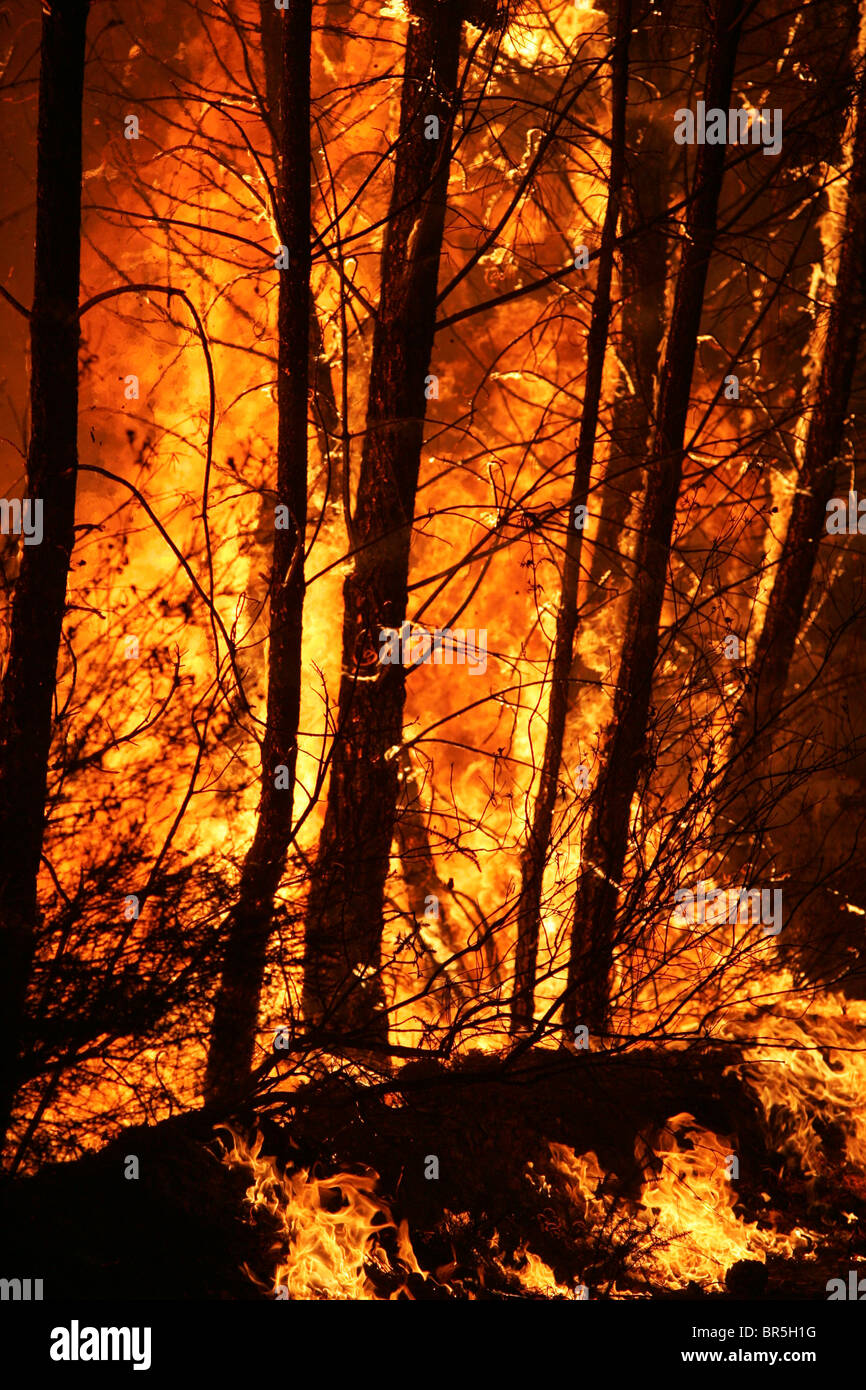 Tree trunks burning during a wildfire - Stock Image