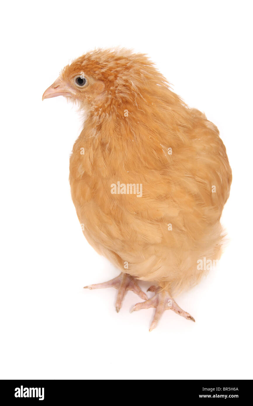 A young chicken photographed on a white background - Stock Image