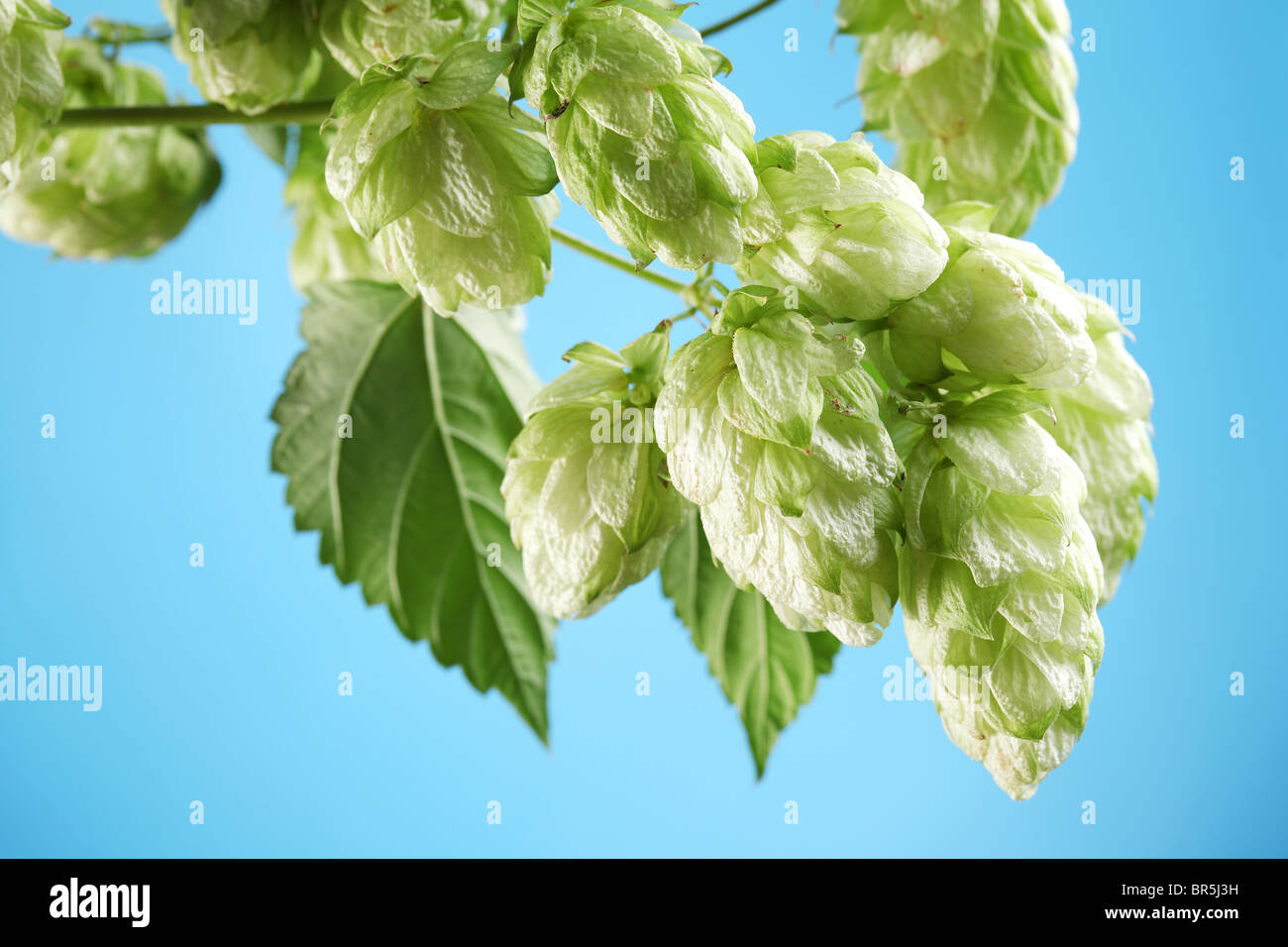 branch of hops on a blue background - Stock Image