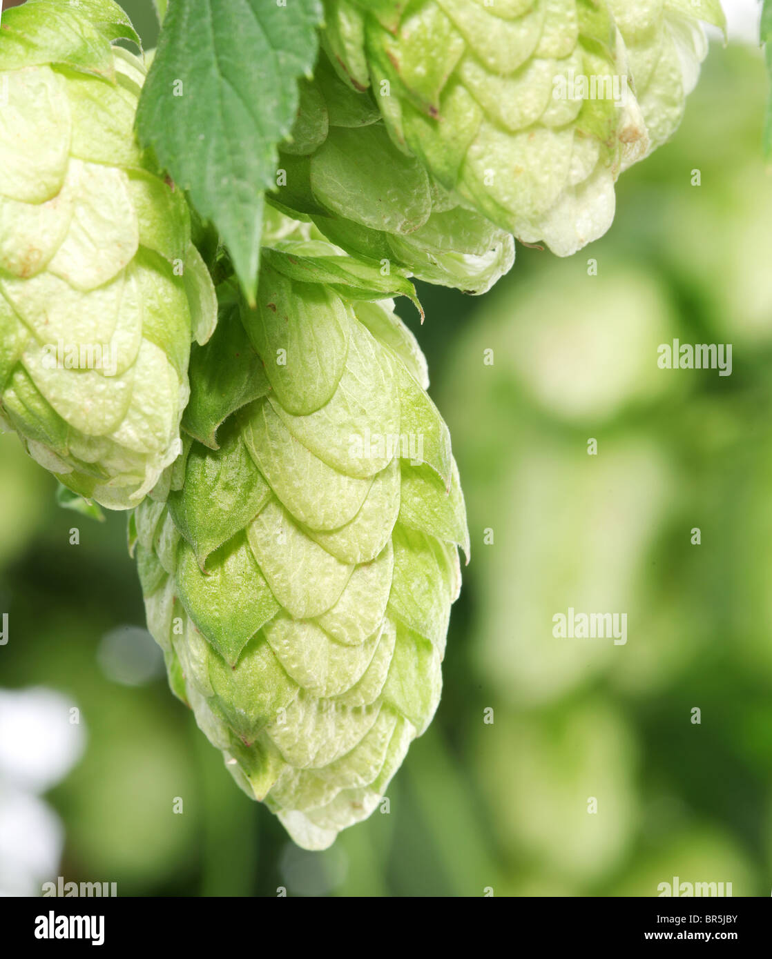 branch of hops close up - Stock Image