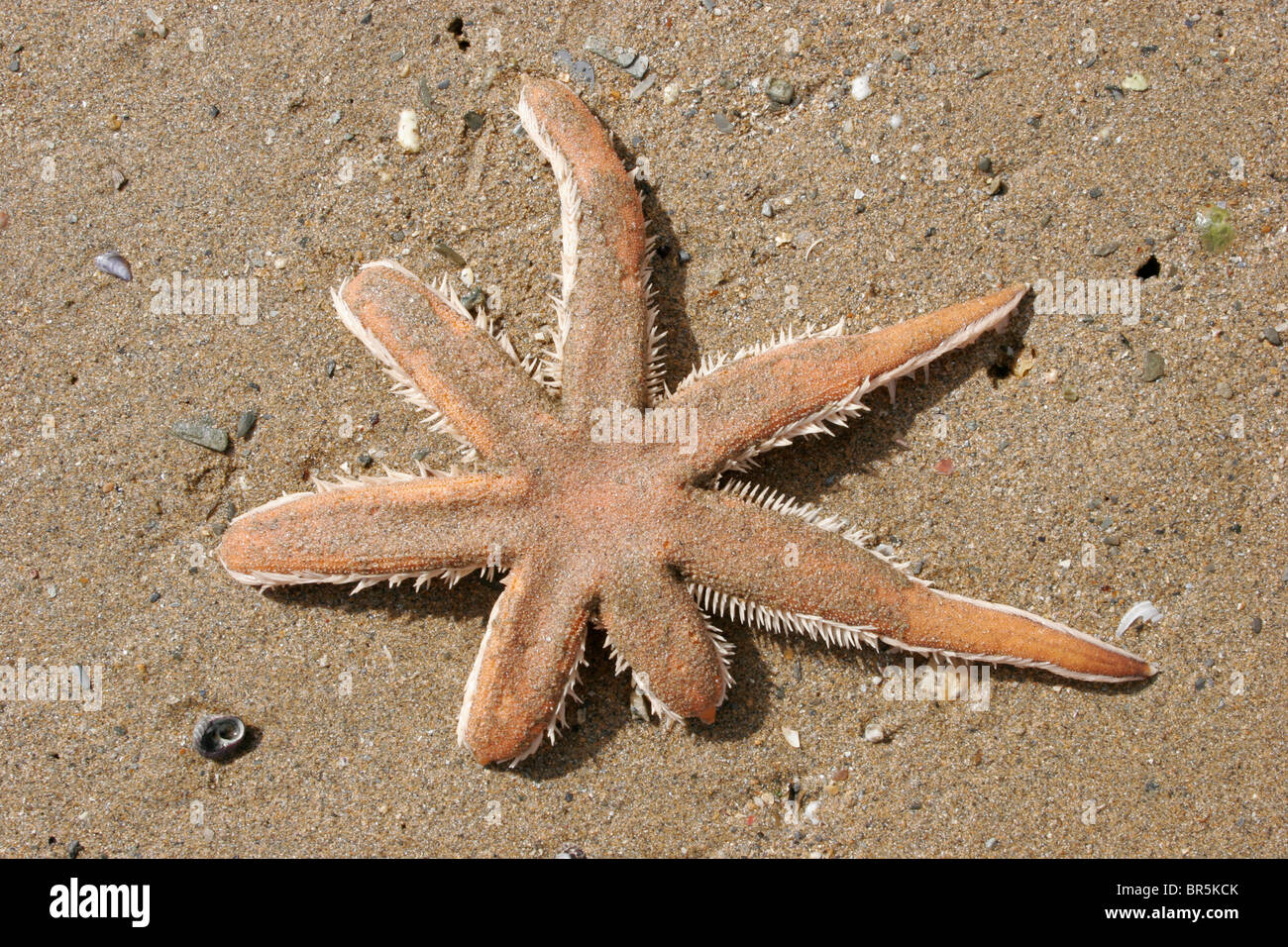 Seven-armed starfish (Luidia ciliaris : Luidiidae) exposed on sand at very low tide, UK. - Stock Image