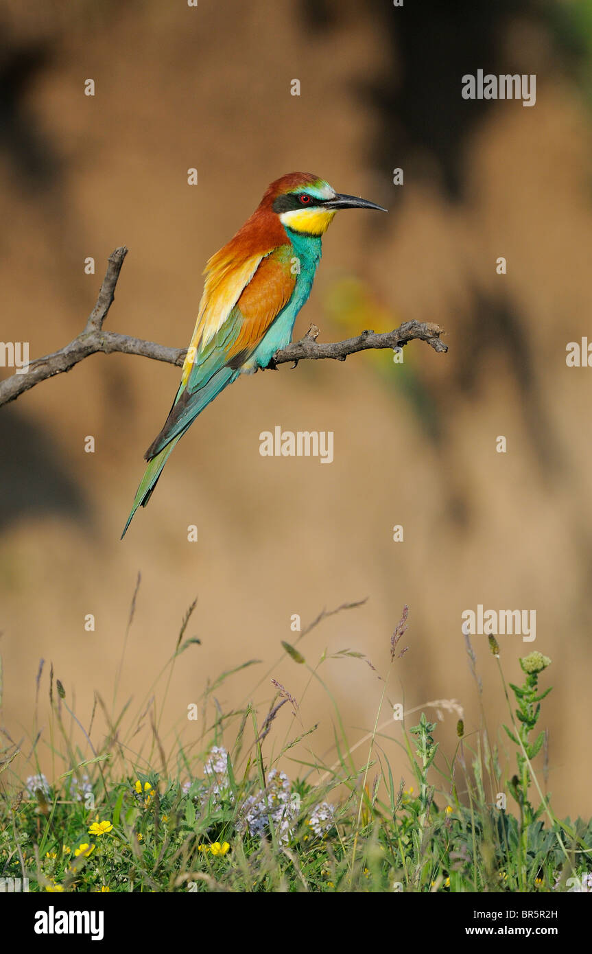European Bee-eater (Merops apiaster) perched on twig, Bulgaria - Stock Image
