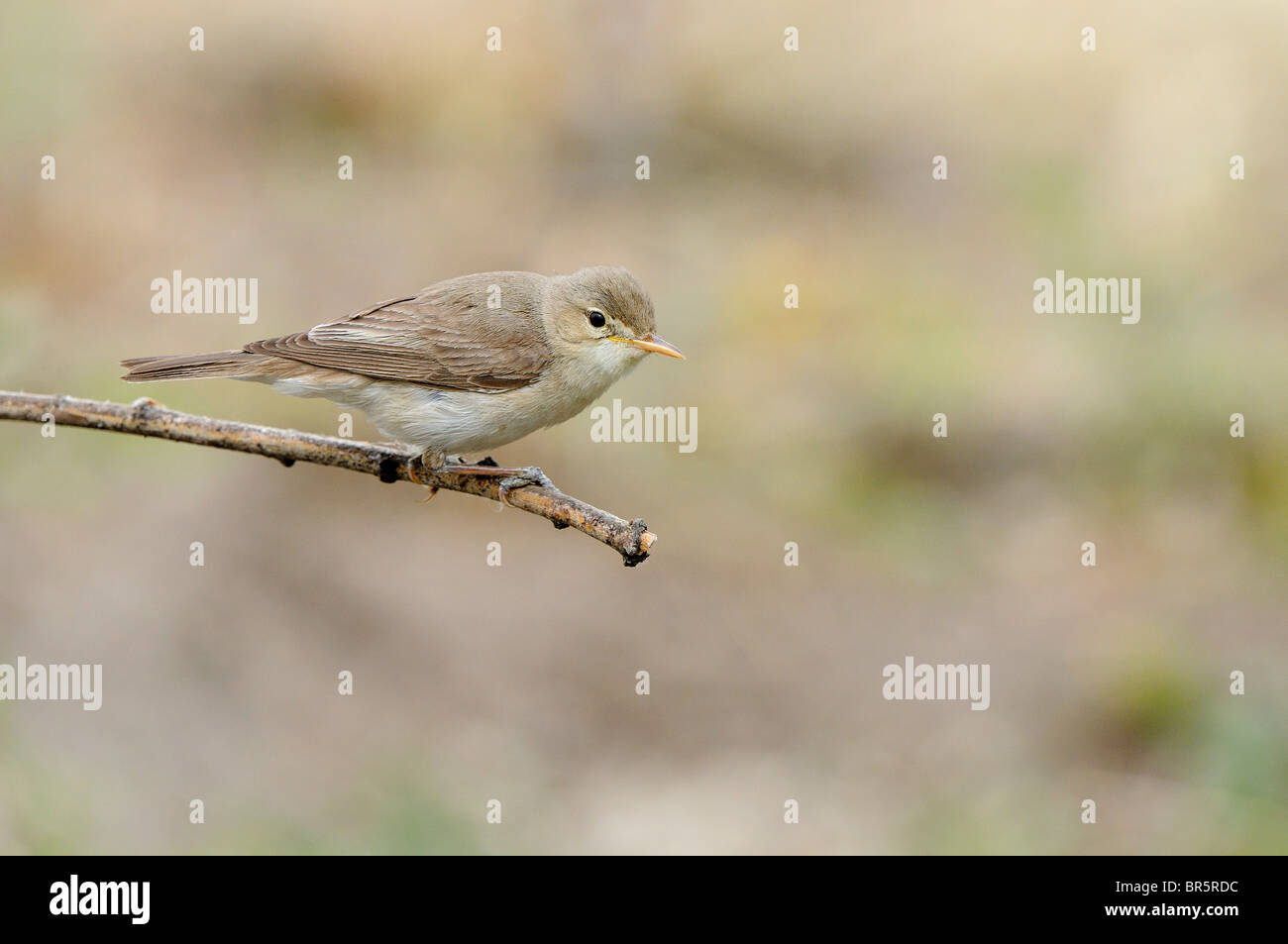 Olivaceous Warbler (Hippolais pallida) perched on twig, Bulgaria - Stock Image