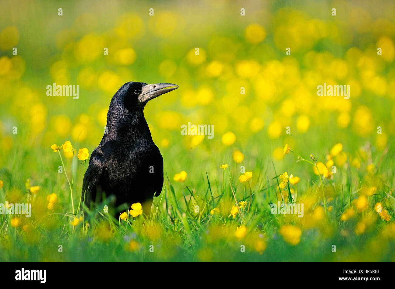 Rook (Corvus frugilegus) on ground amongst buttercups, Oxfordshire, UK. - Stock Image