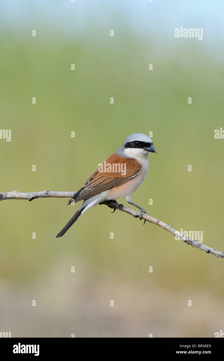 Red-backed Shrike (Lanius collurio) male perched on twig, Bulgaria - Stock Image