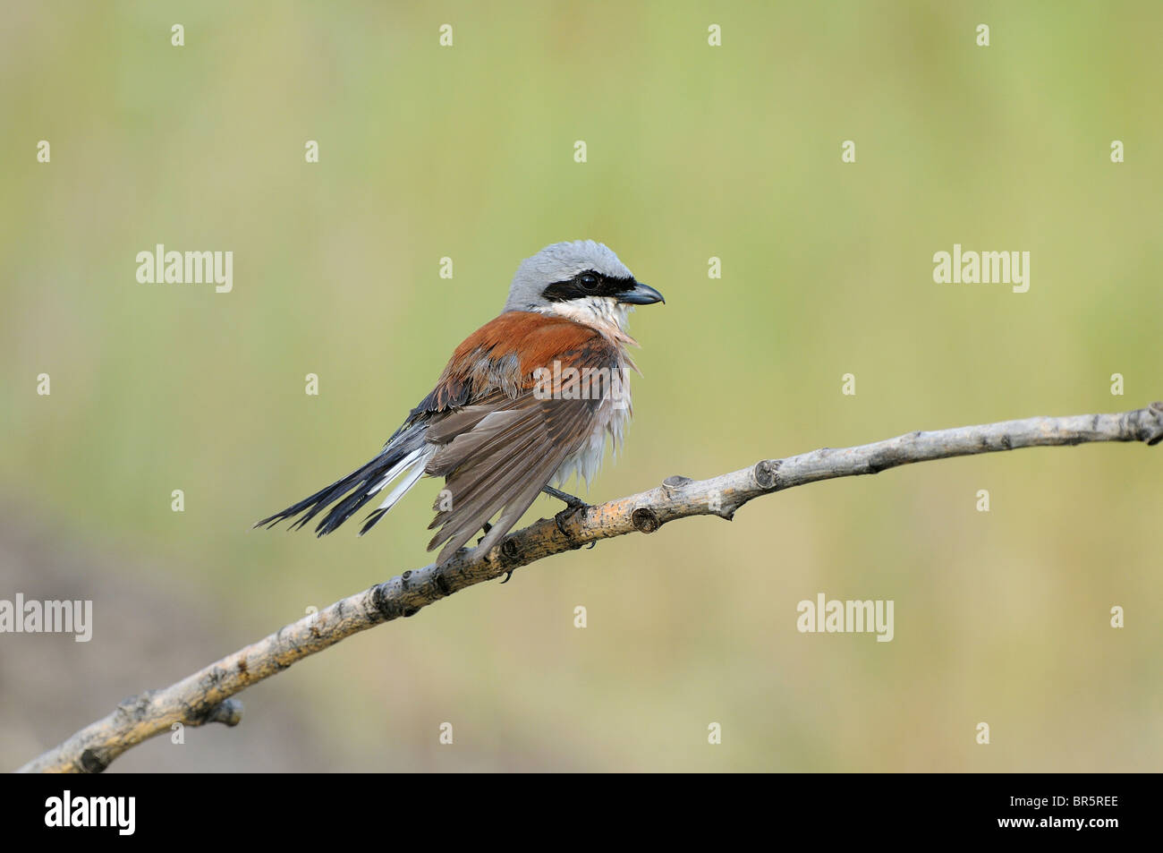 Red-backed Shrike (Lanius collurio) male perched on twig with wet feathers, Bulgaria - Stock Image