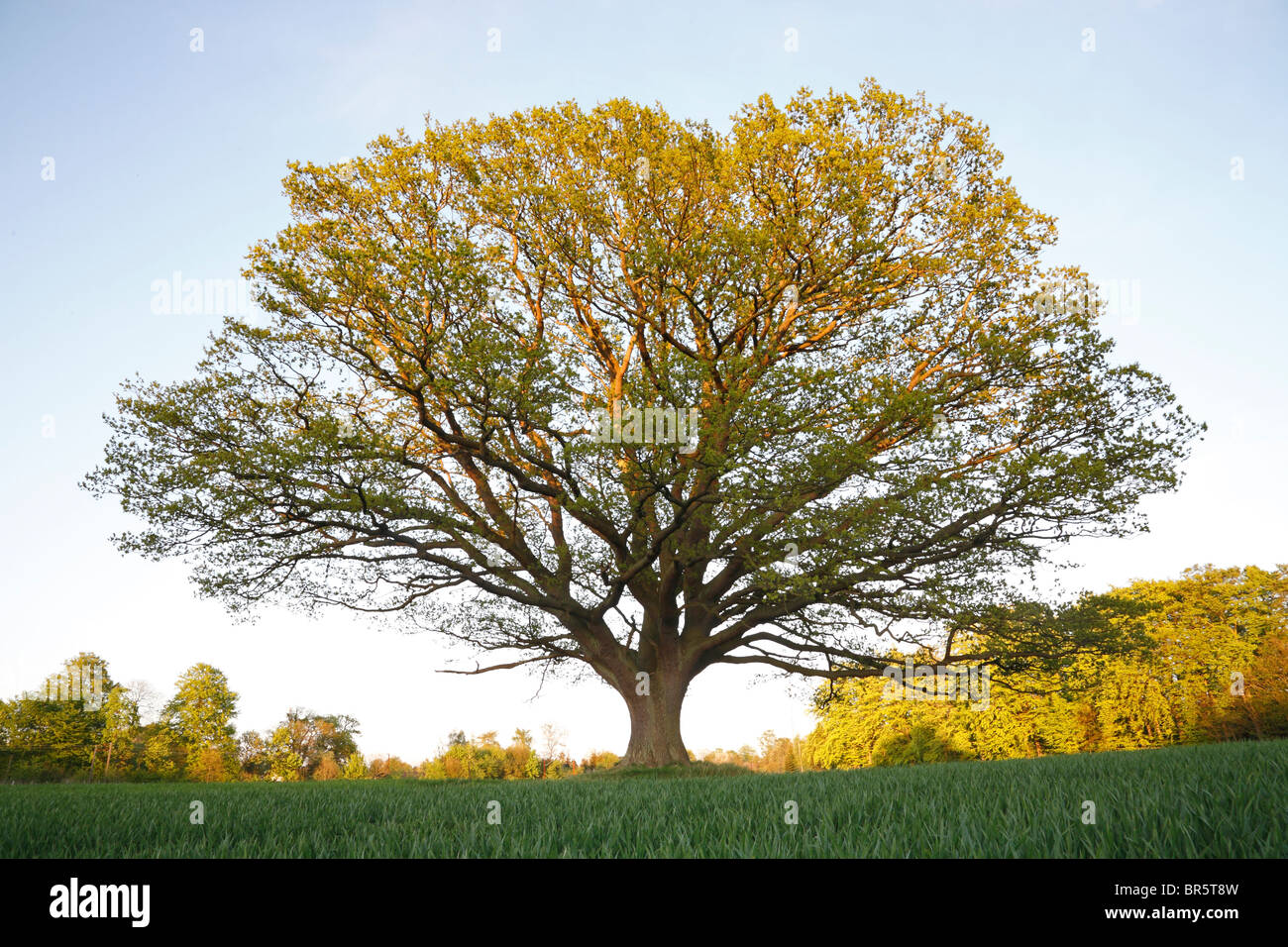 Big, old oak tree (common oak, English oak, Quercus robur) at sundown in the spring with fresh green leaves in a Stock Photo