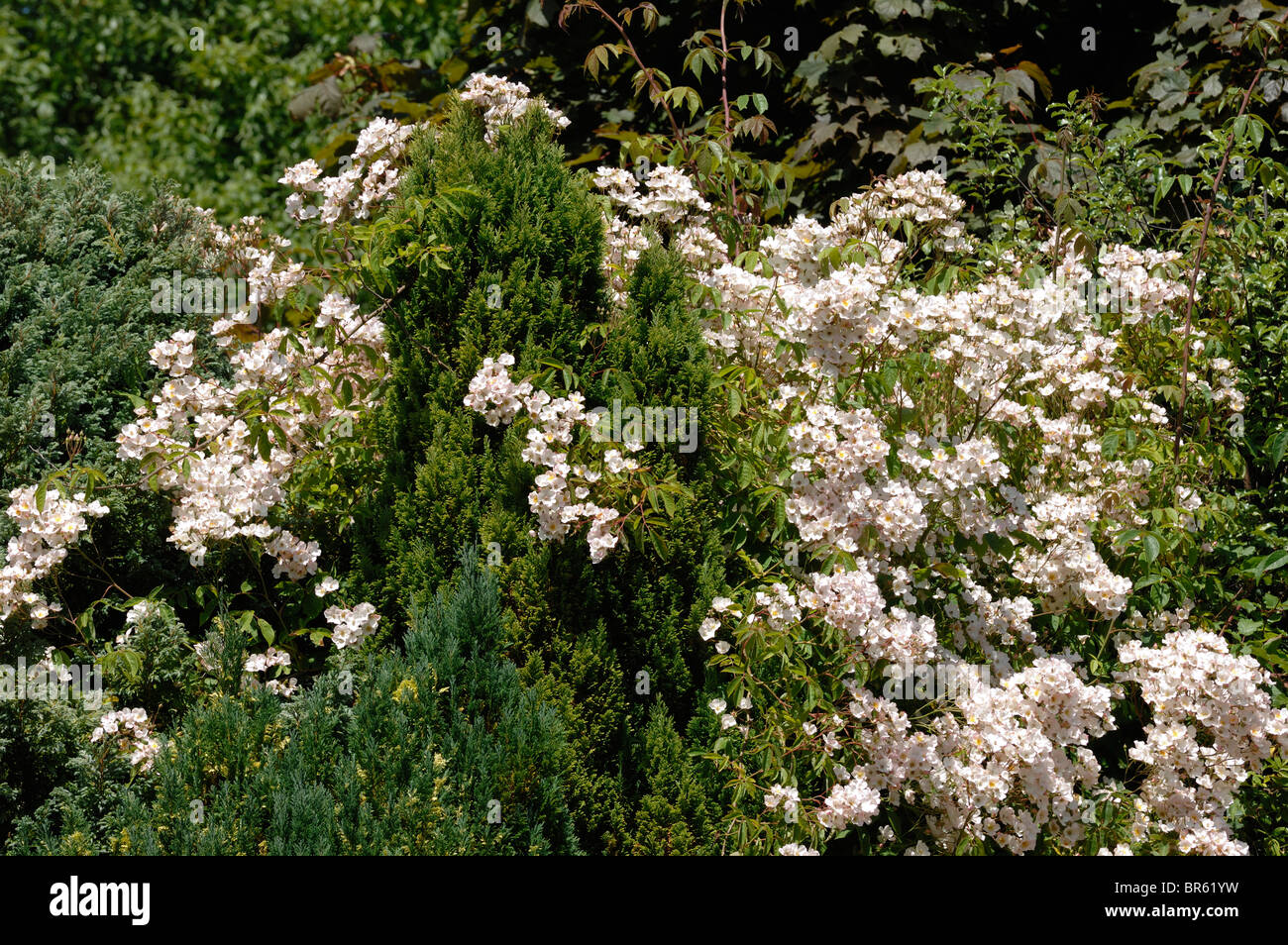Rosa filipes 'Kiftsgate' climbing rose drifting over ornamental conifers - Stock Image